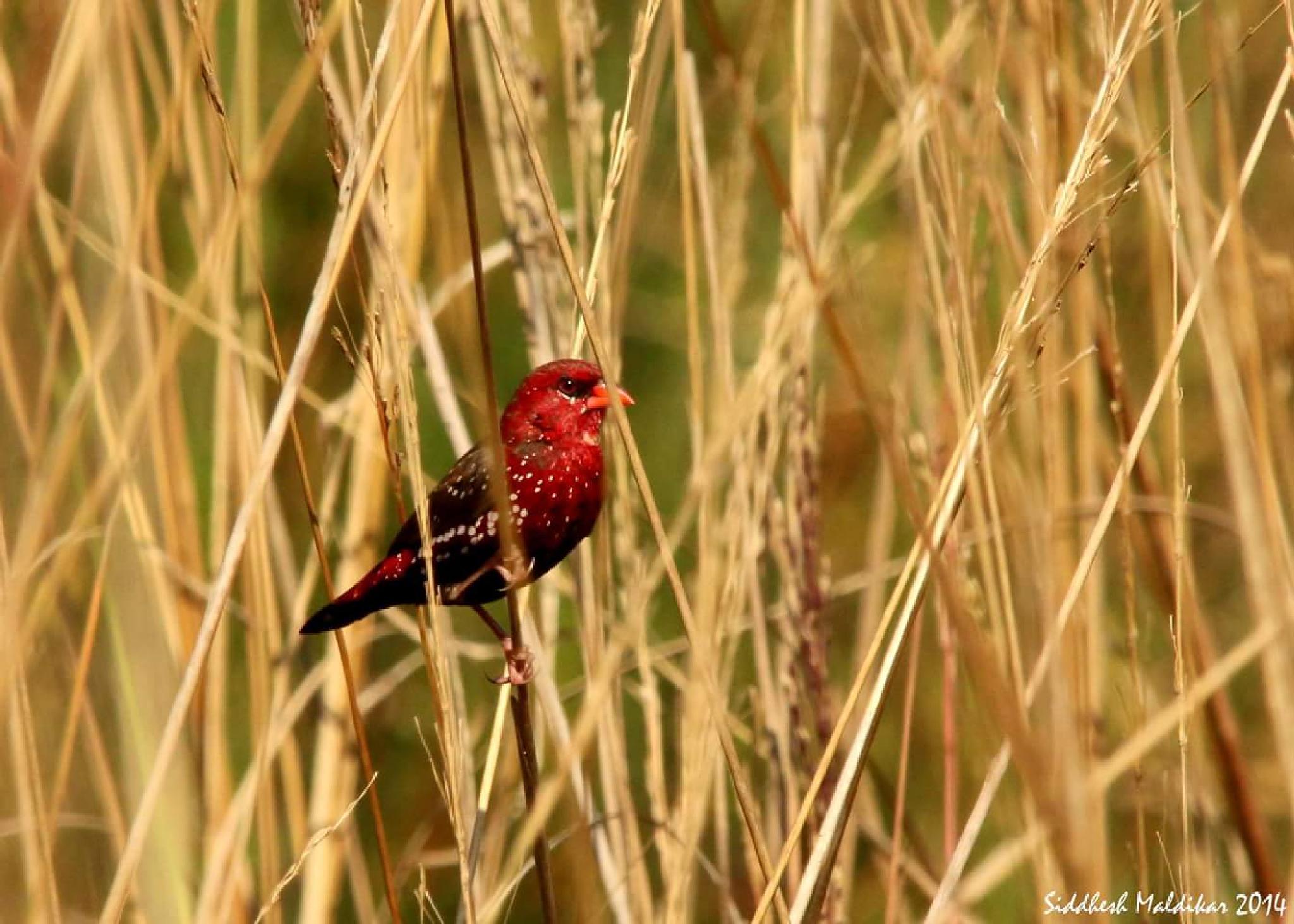 If strawberry was a bird...  by Sidsouthpaw