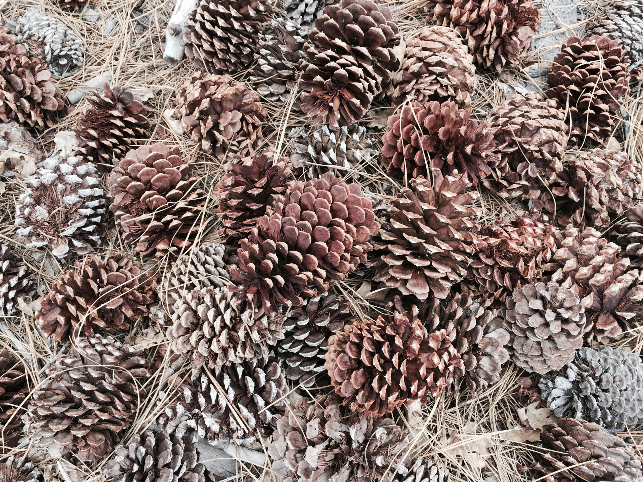 Pine cones  by Madsandpics