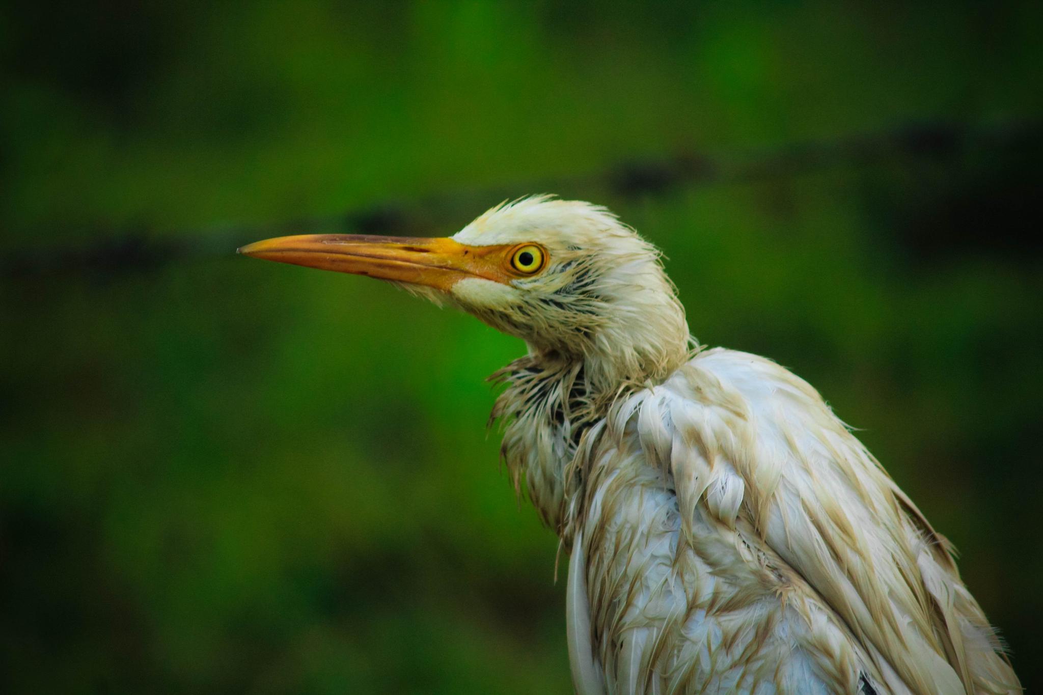 Little Egret! by Vineet sakargayen