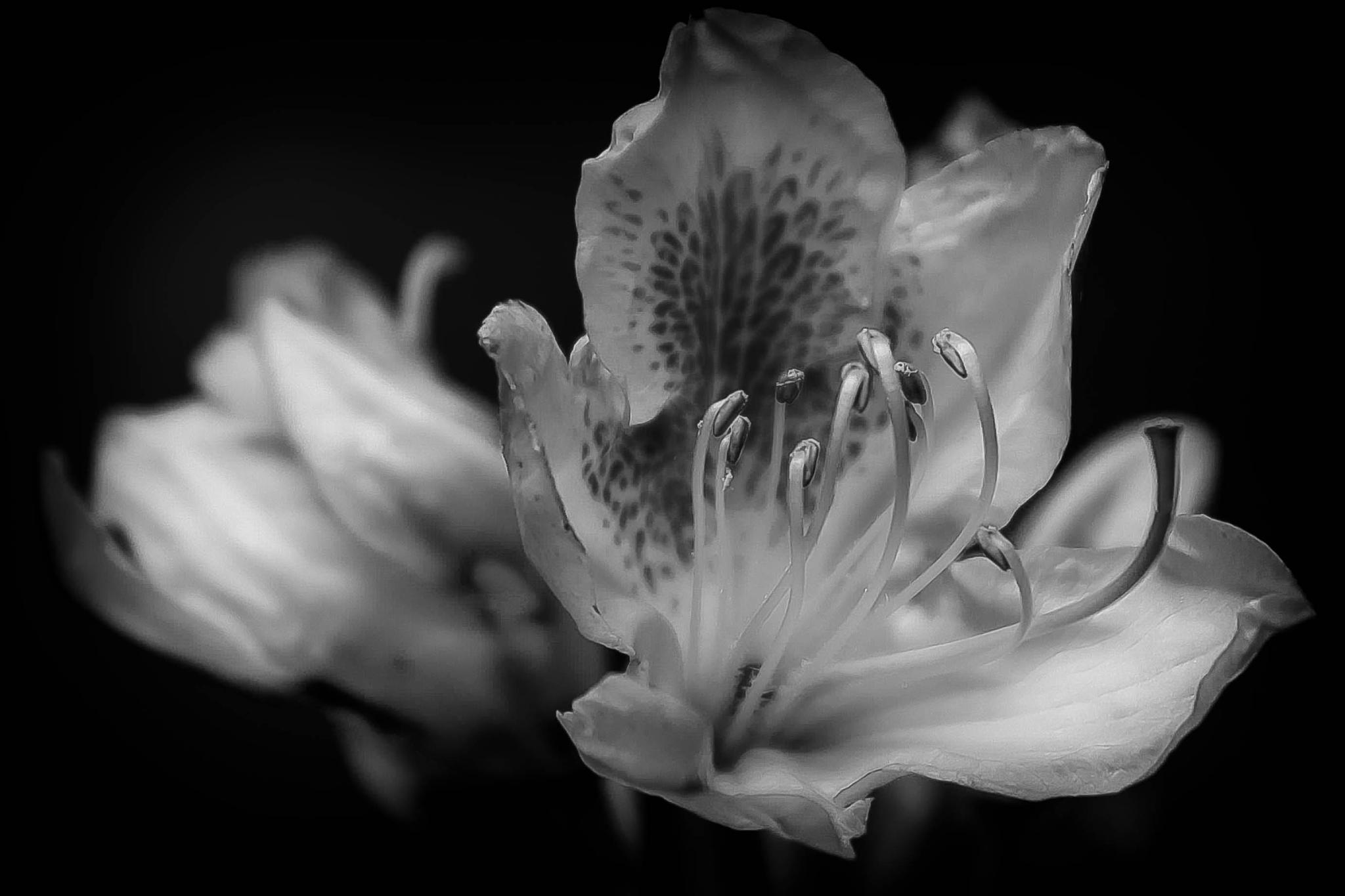 Rhododendron Flower by Vincent Malcolm