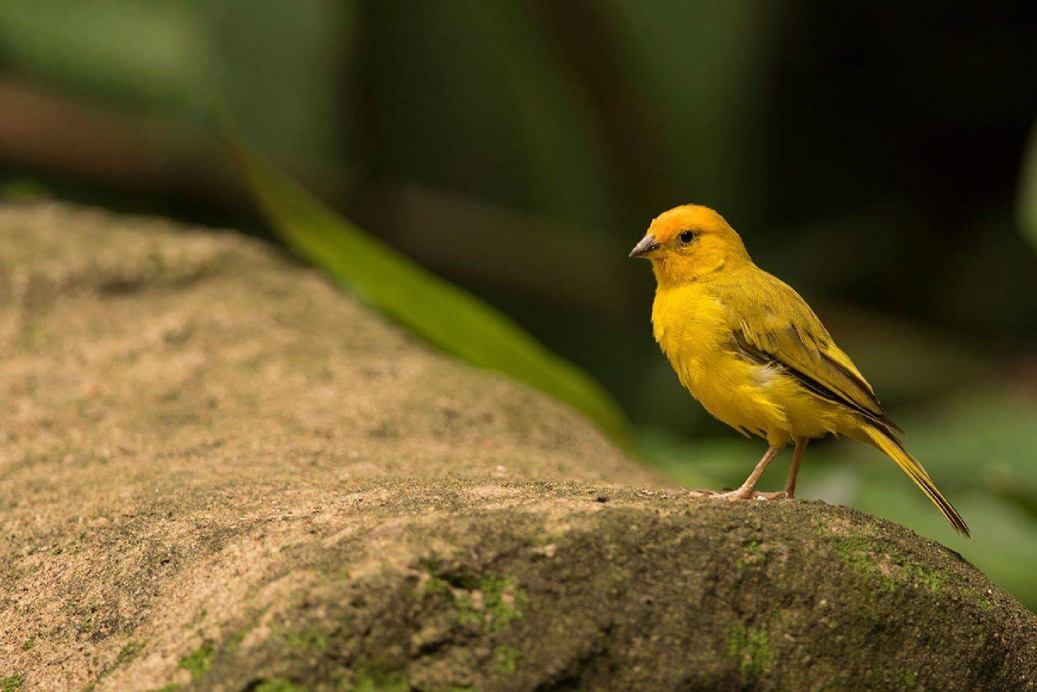 Saffron Finch by Arpan Dalal