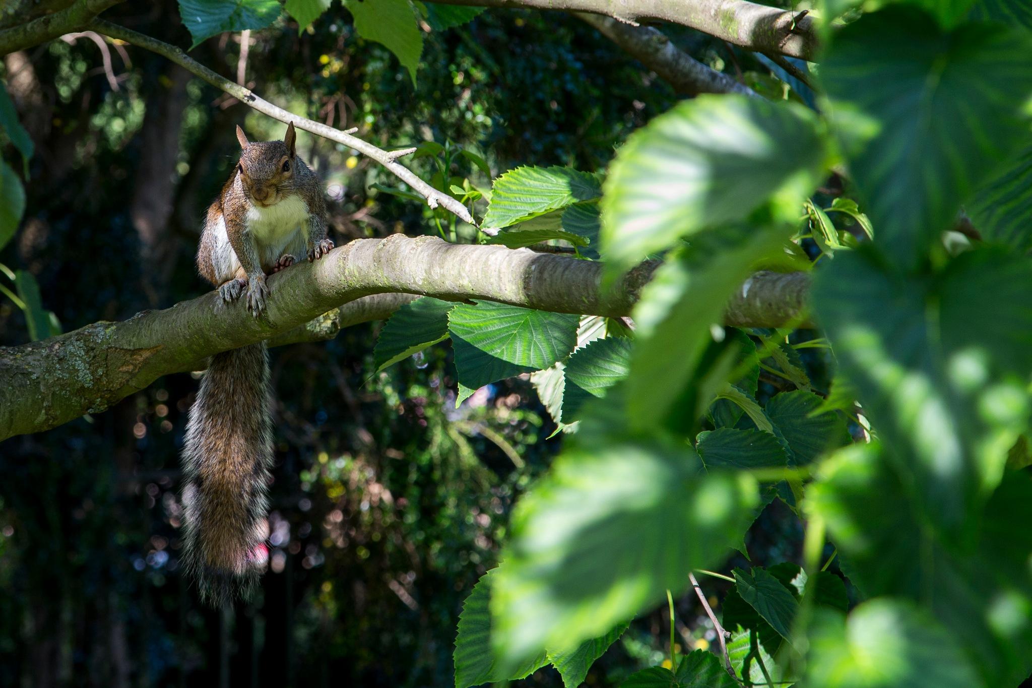 Hyde Park squirrel by Per Thomsen