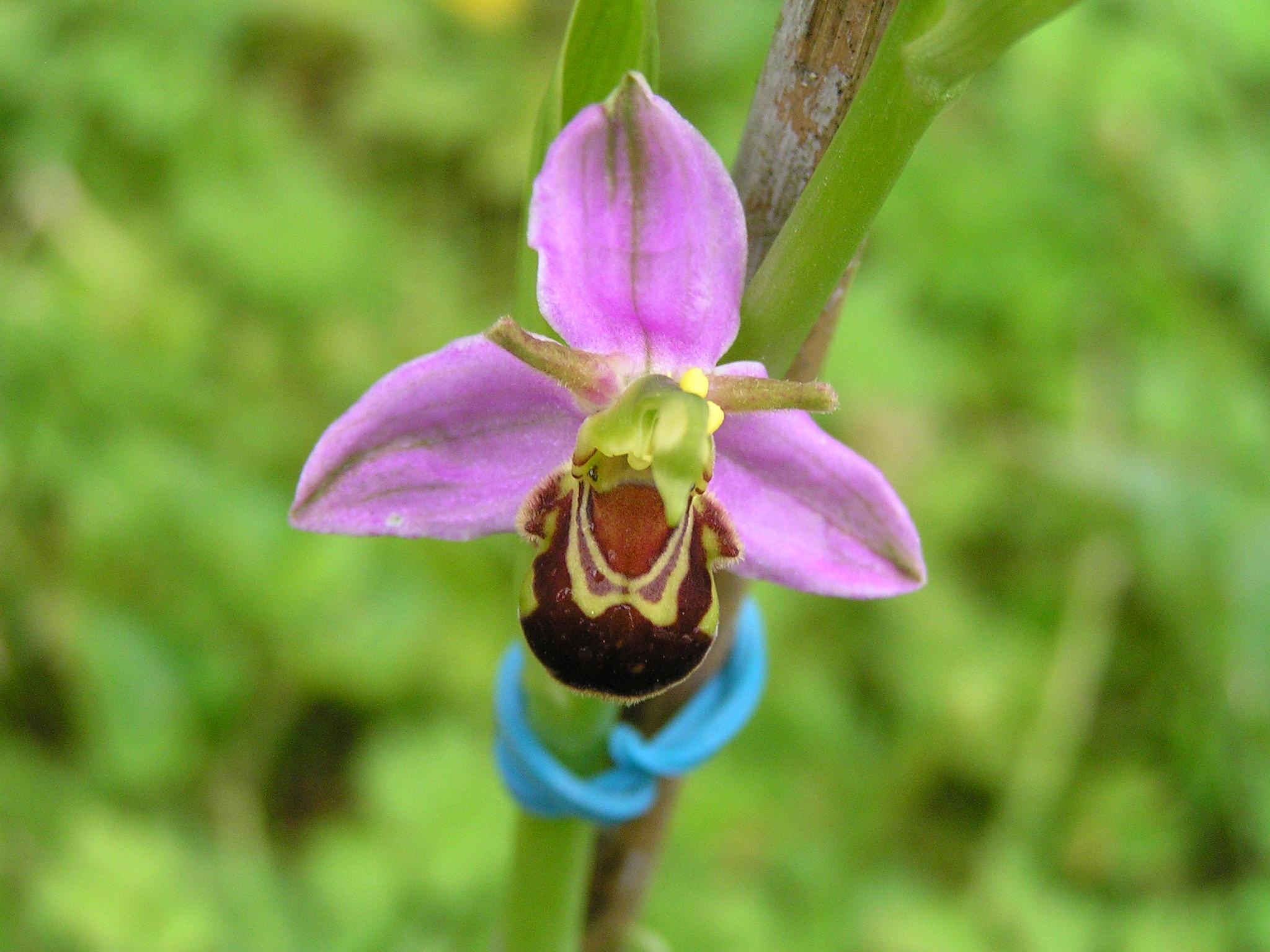 Bee Orchid by Tenzin Palden
