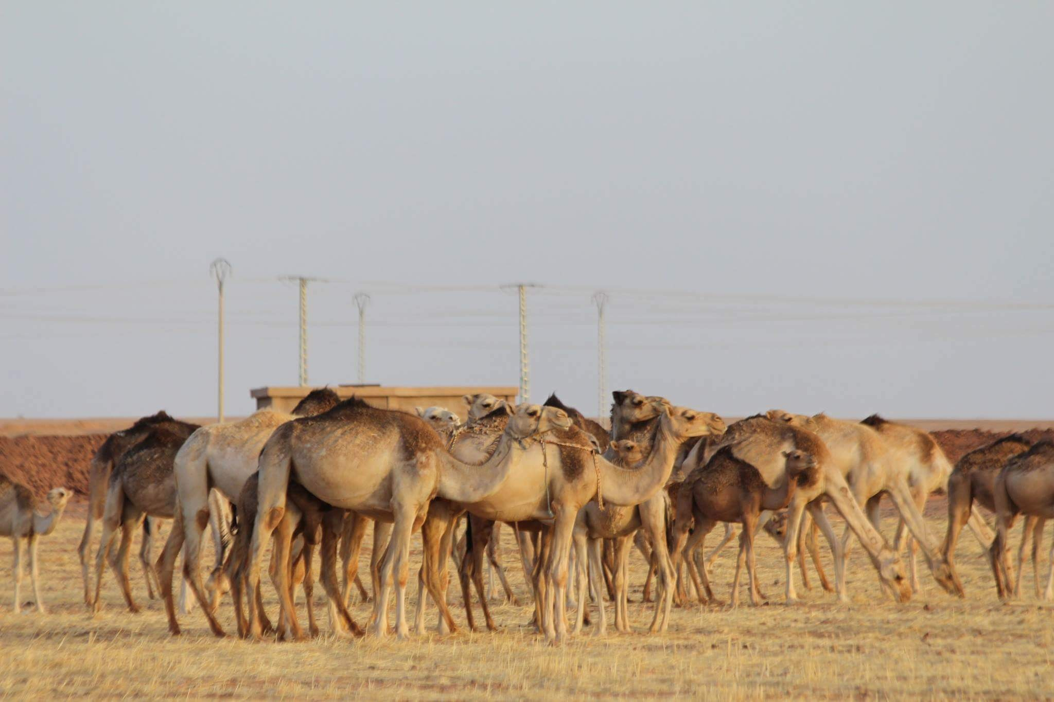 camels  by Taha4ever