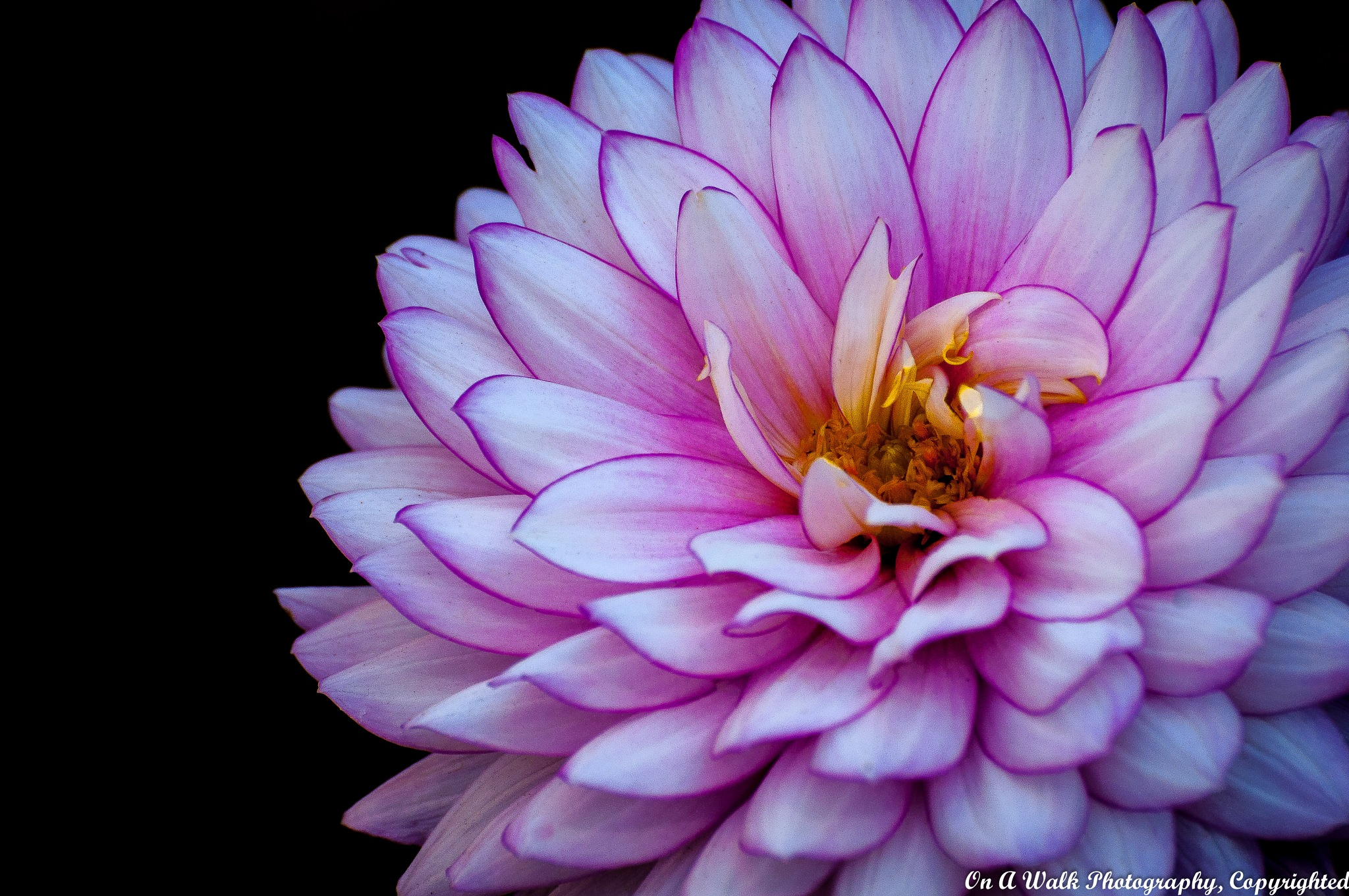 Dahlia by On A Walk Photography