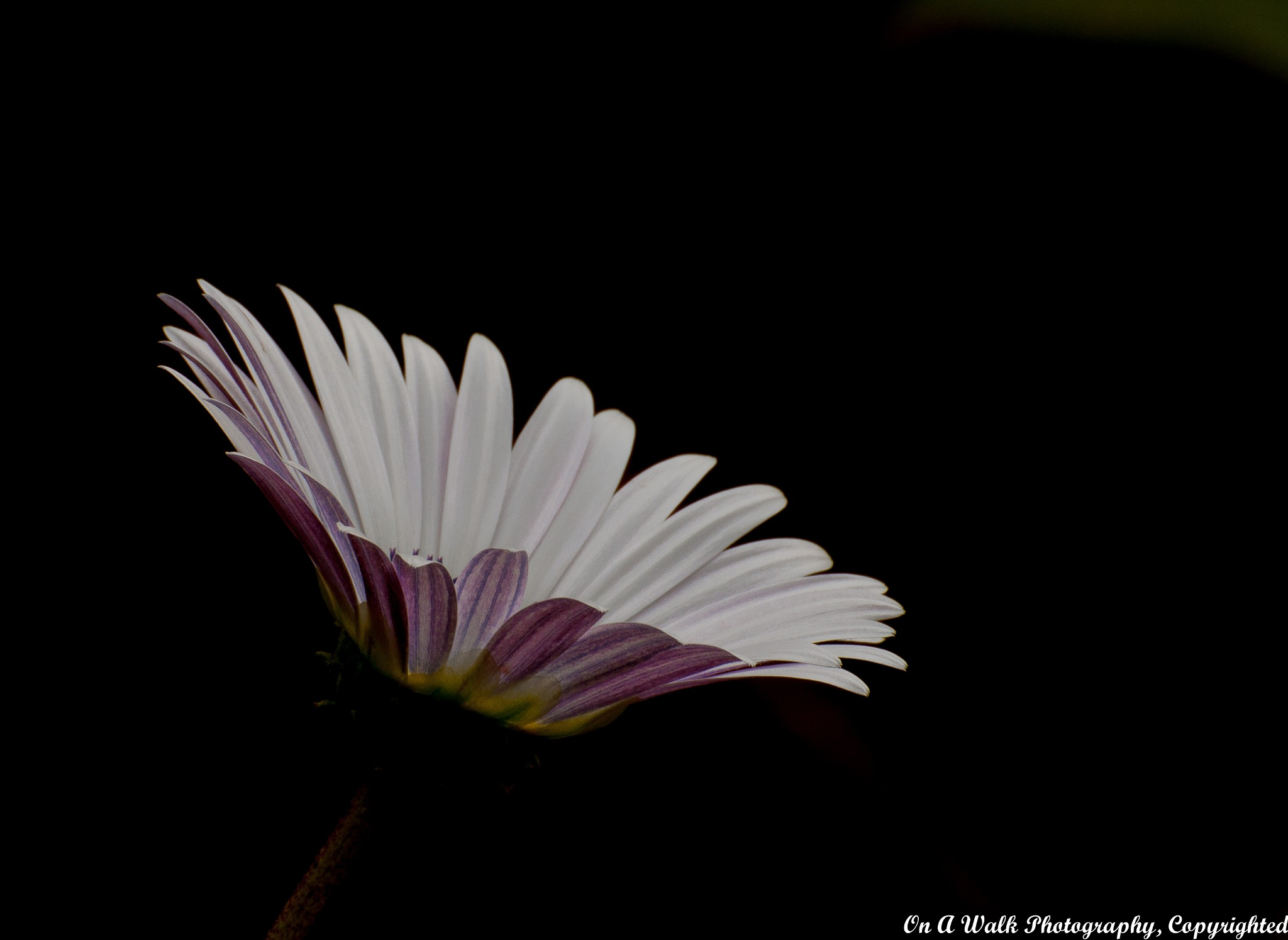 Daisy by On A Walk Photography
