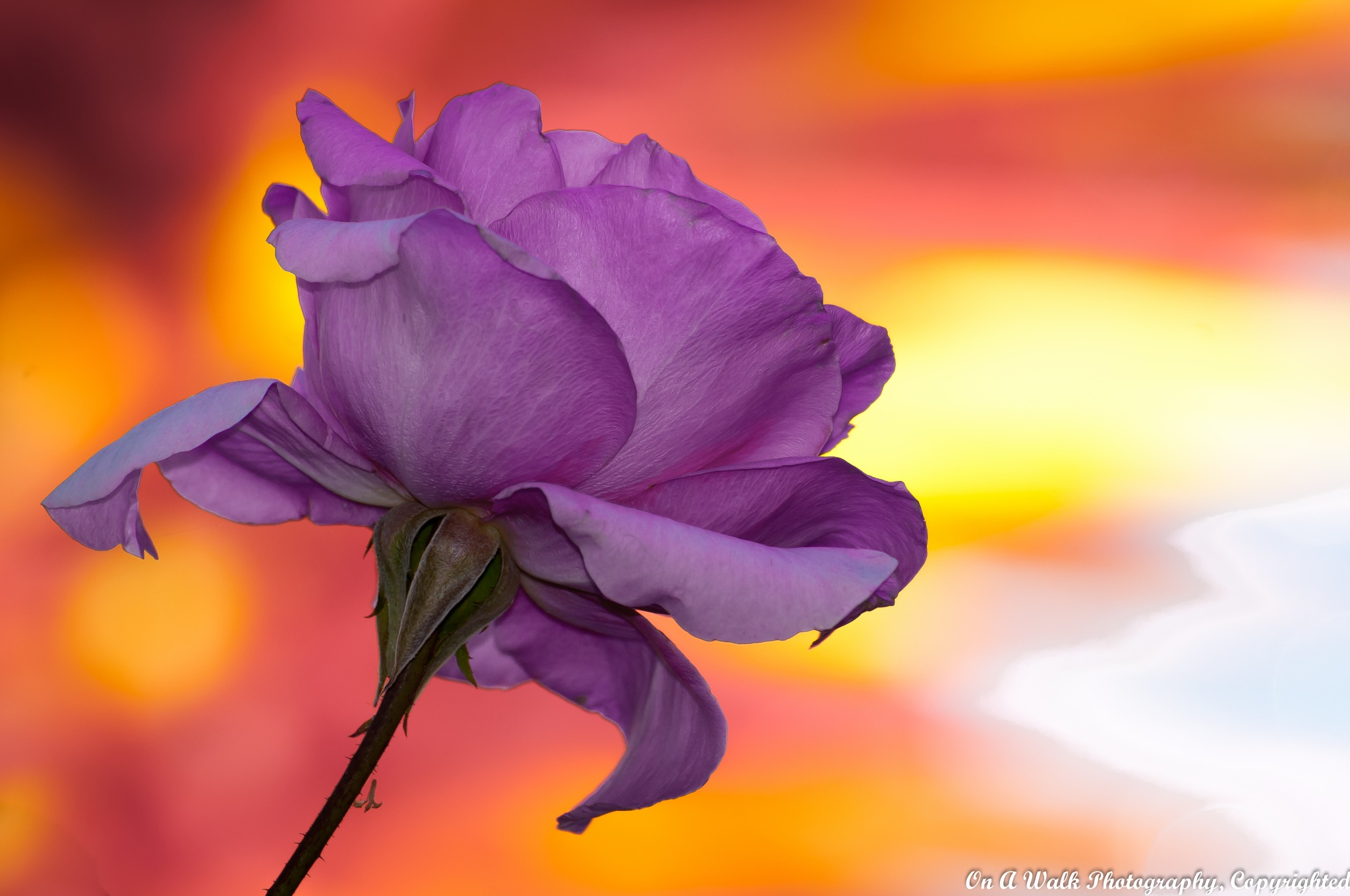 Fall Rose by On A Walk Photography