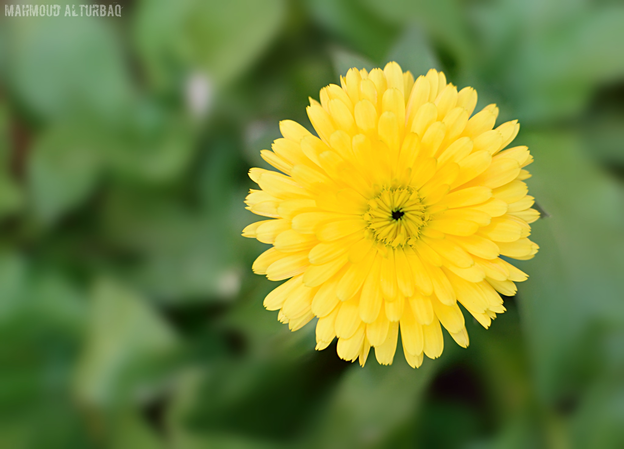 a yellow flower by Mahmoud Alturbaq