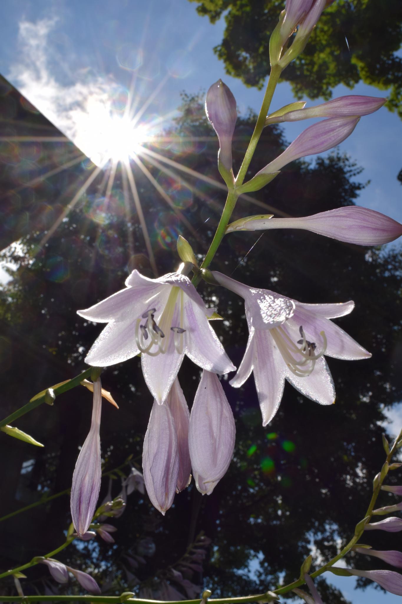 Photo in Nature #hostas #bloominghostas #hosta
