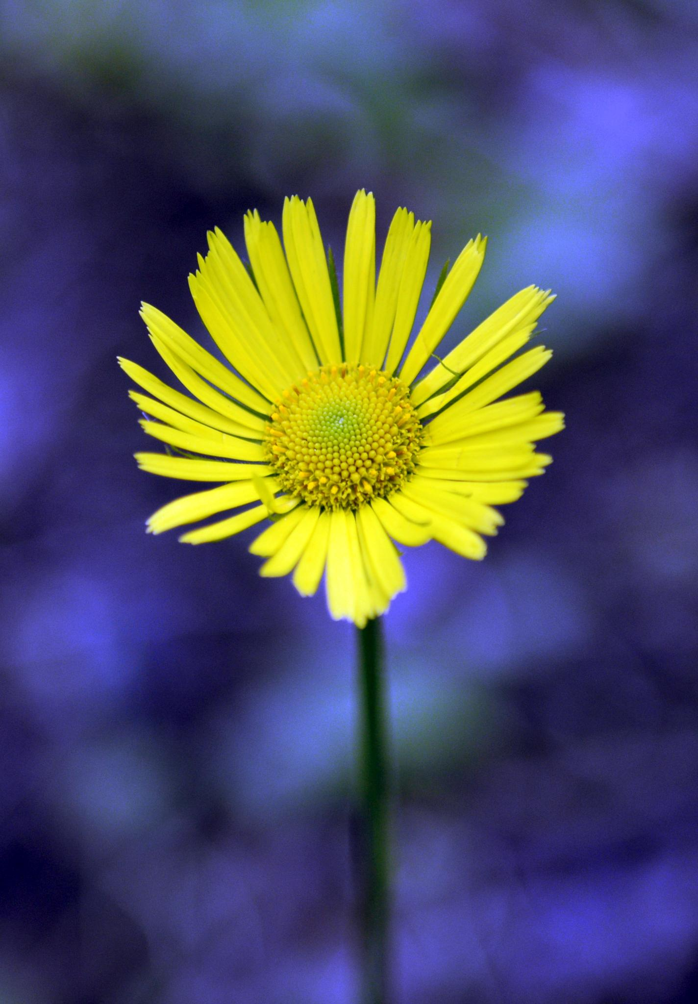 Young Dandelion by Ann