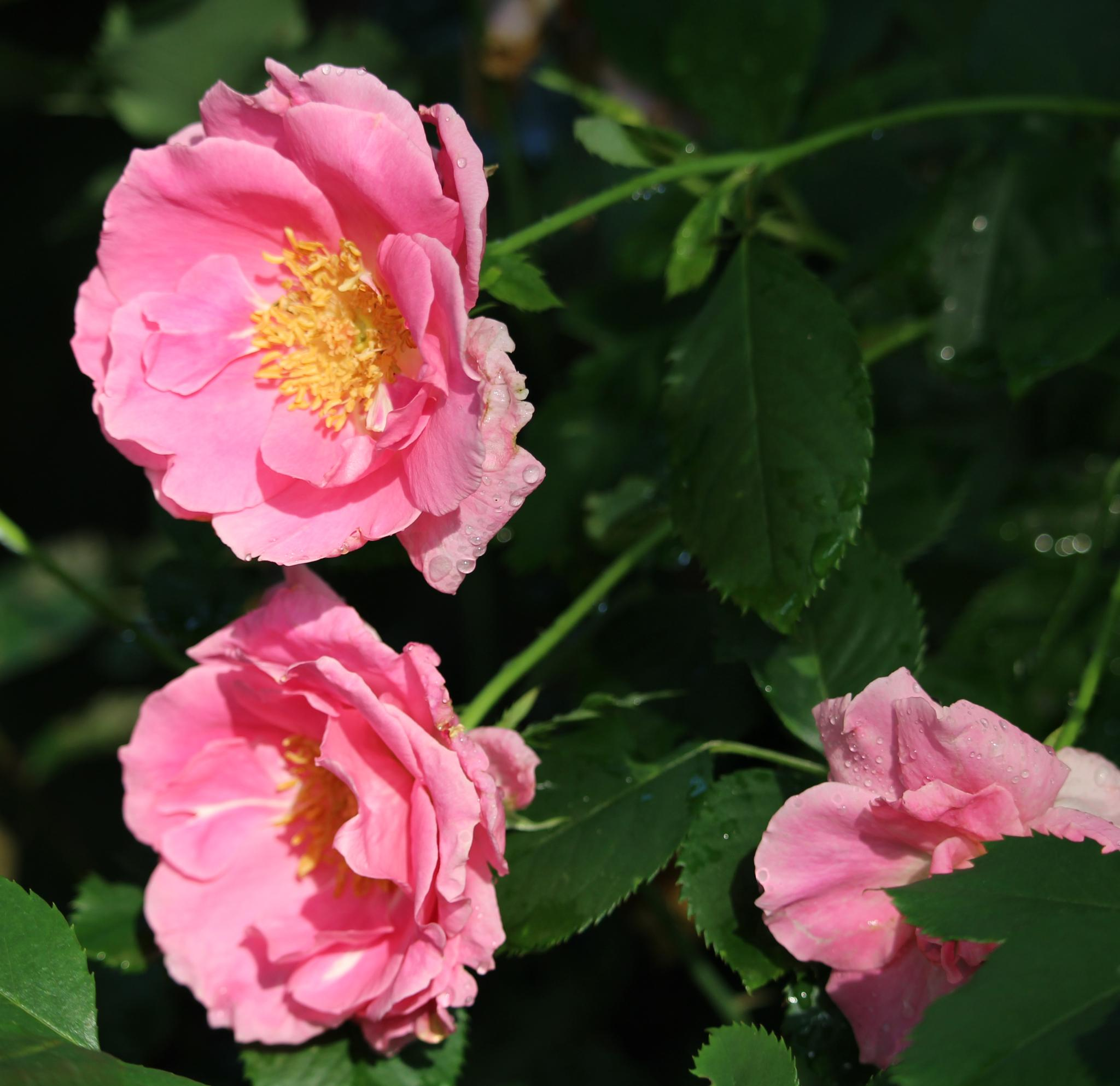 Knockout rose in pink by Susan J Wadlow