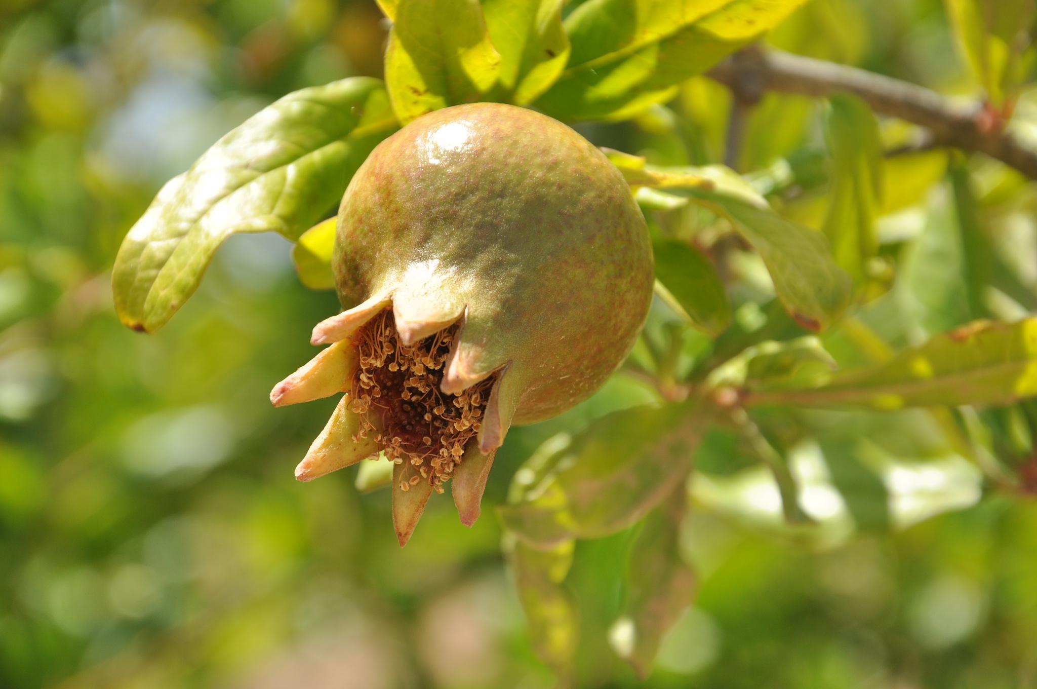 Pomegranate by Anna Pronenko