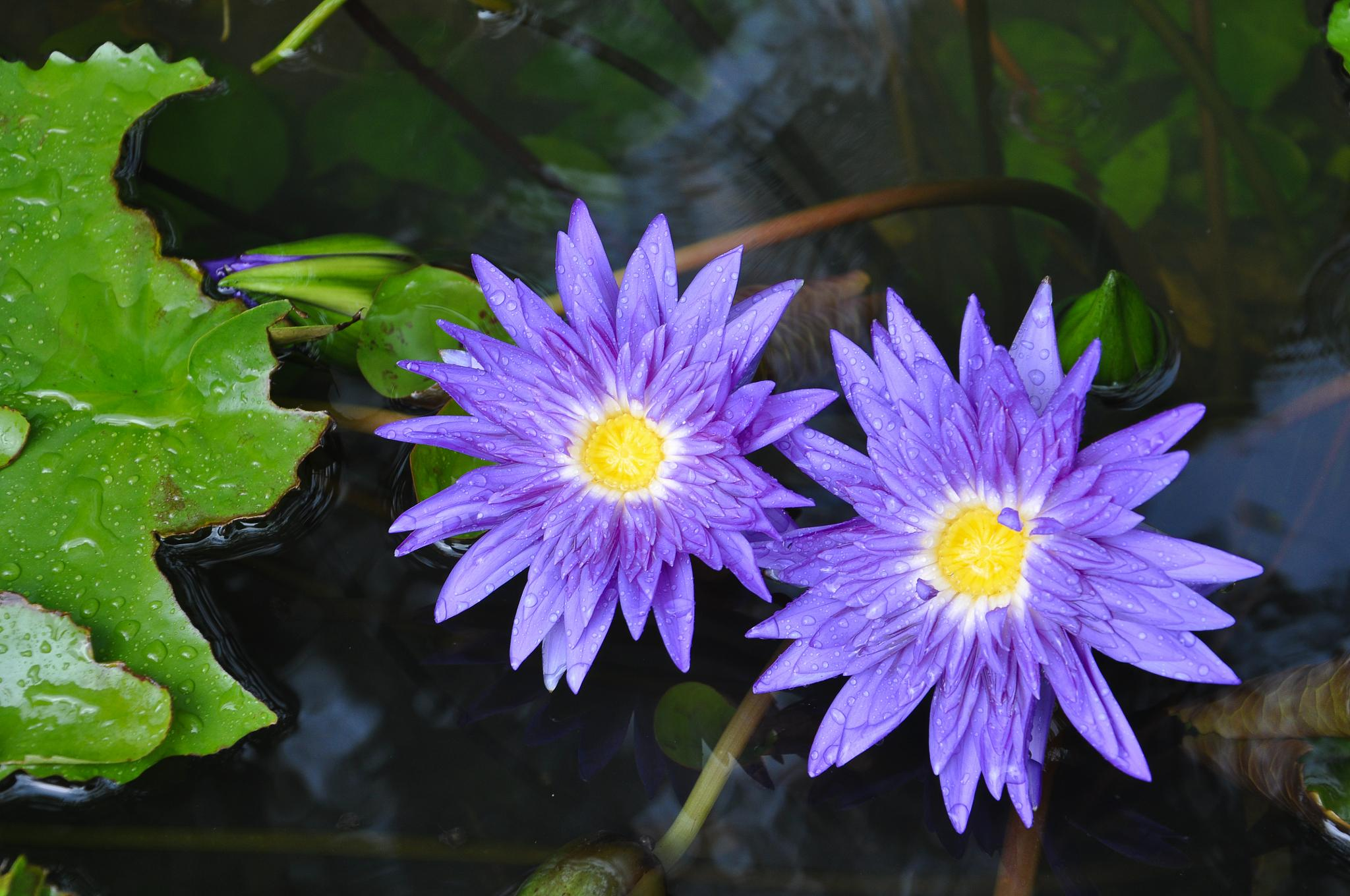 Phuket flowers by Anna Pronenko