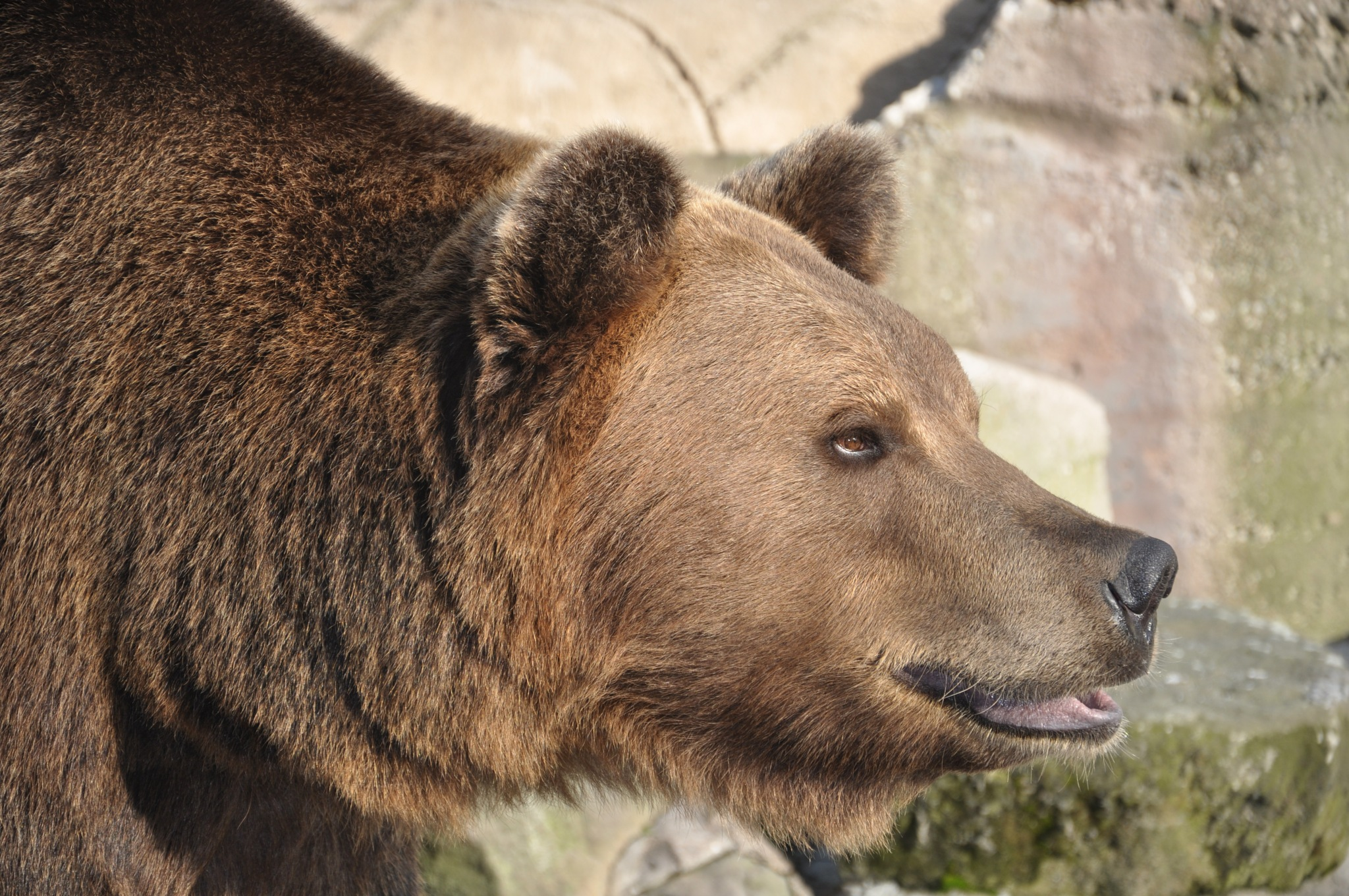 Brown bear by Anna Pronenko