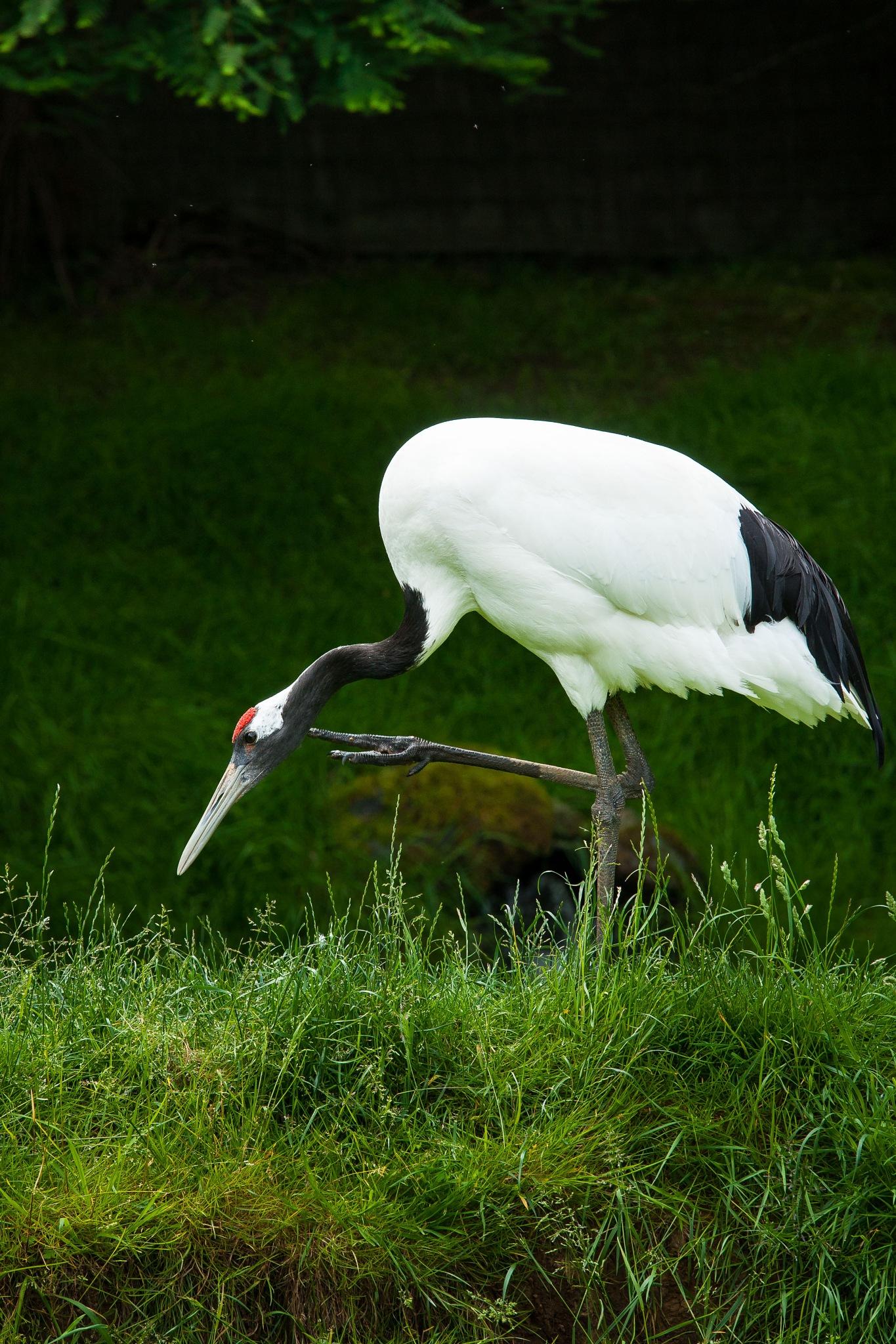 Manchuria white crane by Hervé Samson