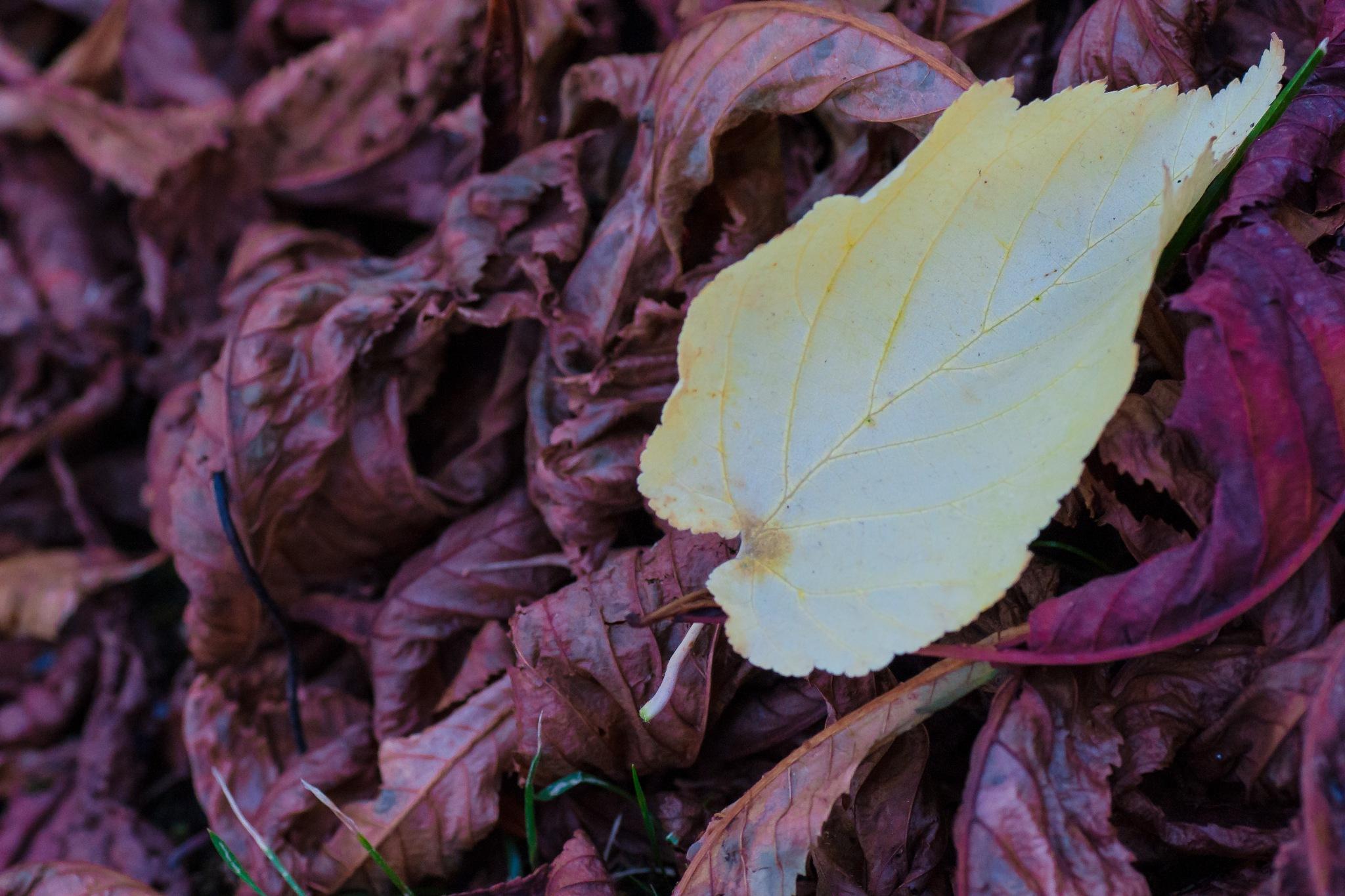 The yellow leaf by Hervé Samson
