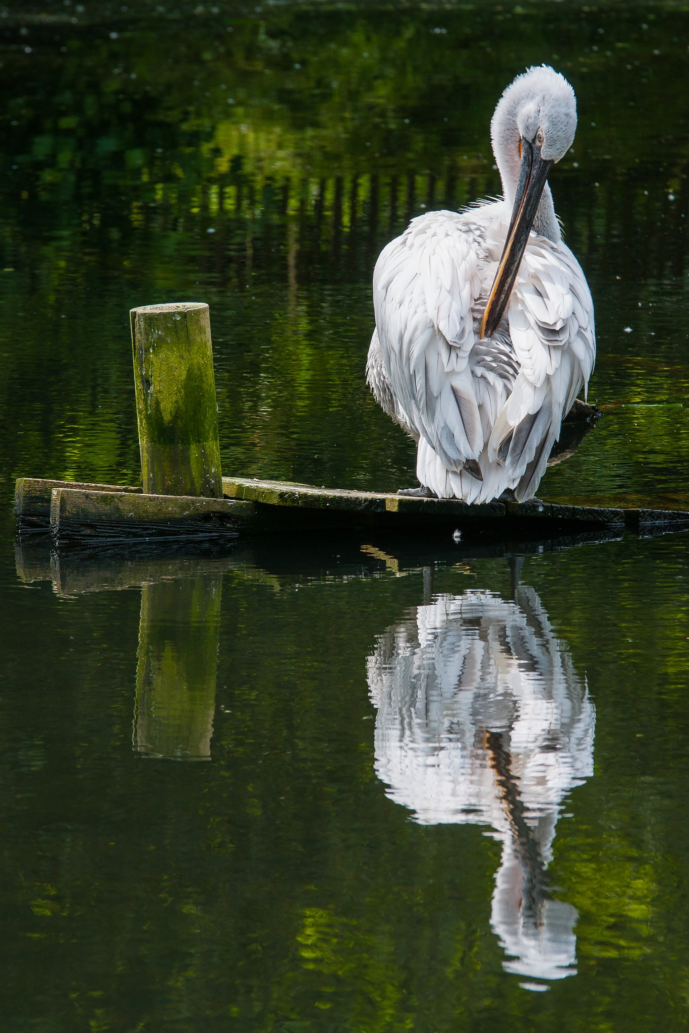 Pelican by Hervé Samson