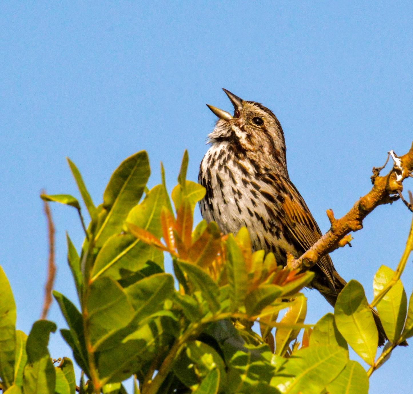 song sparrow  by Ramon Medina