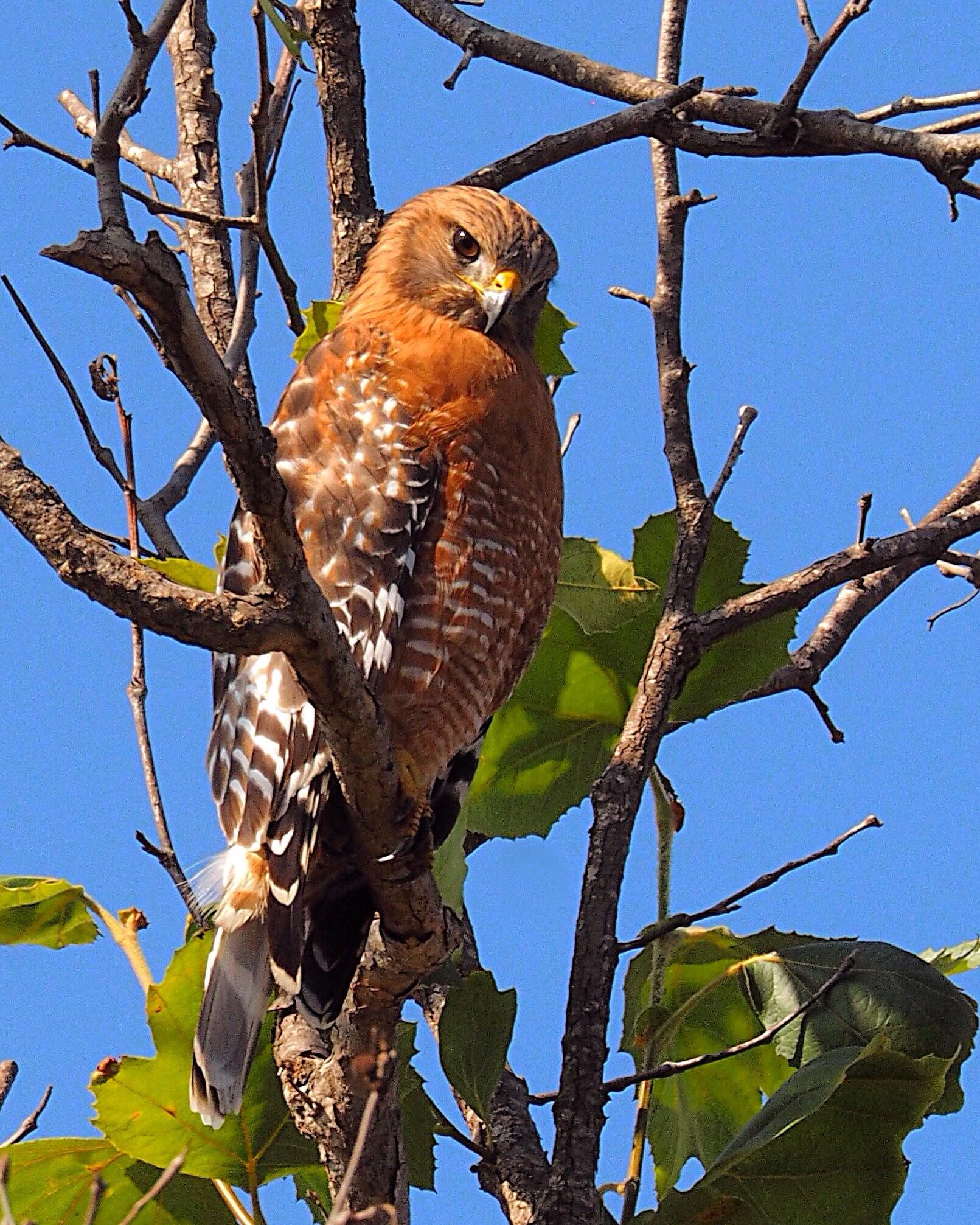 Red shouldered hawk by Ramon Medina