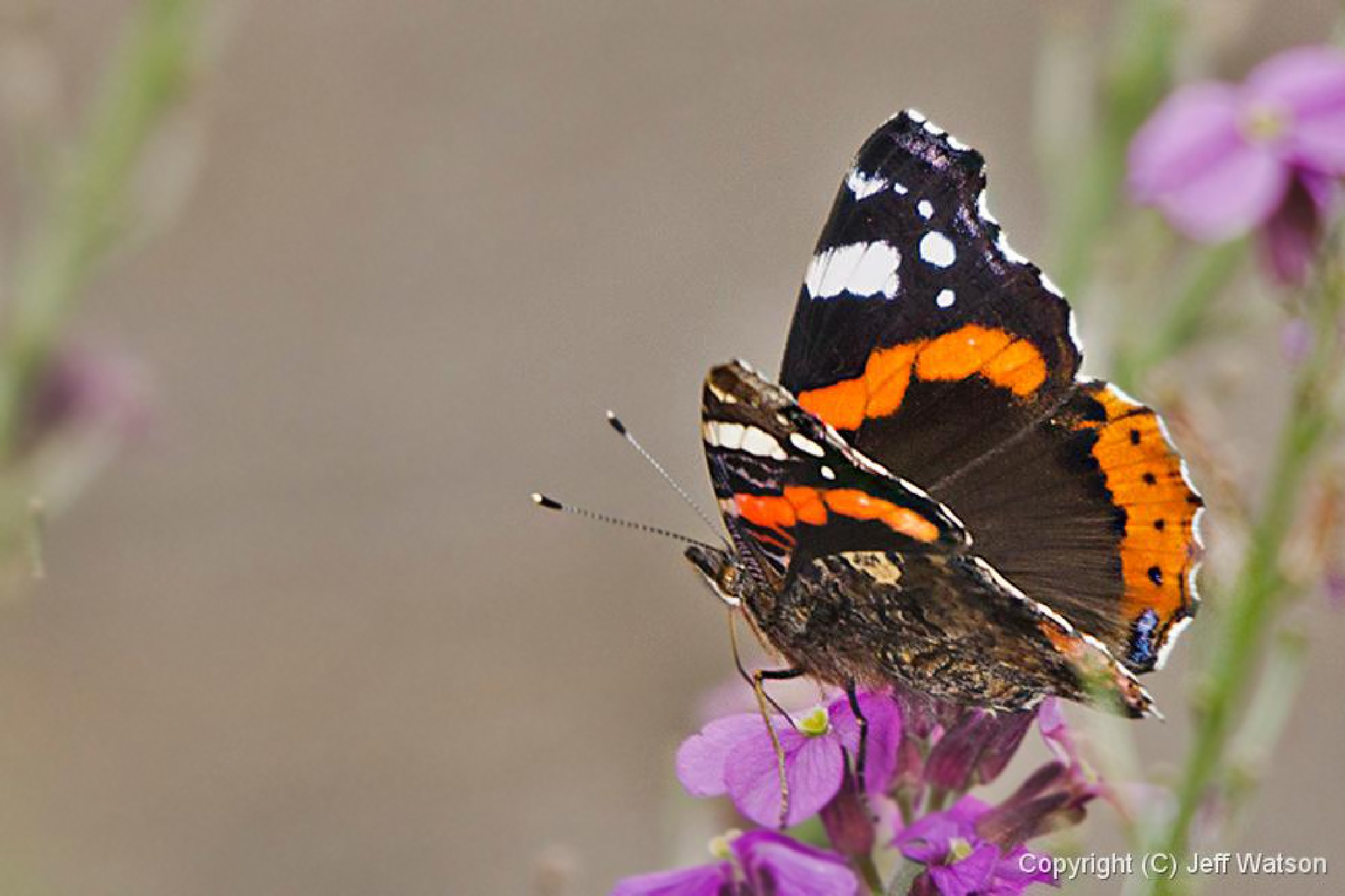 Red Admiral by Jeff Fogey