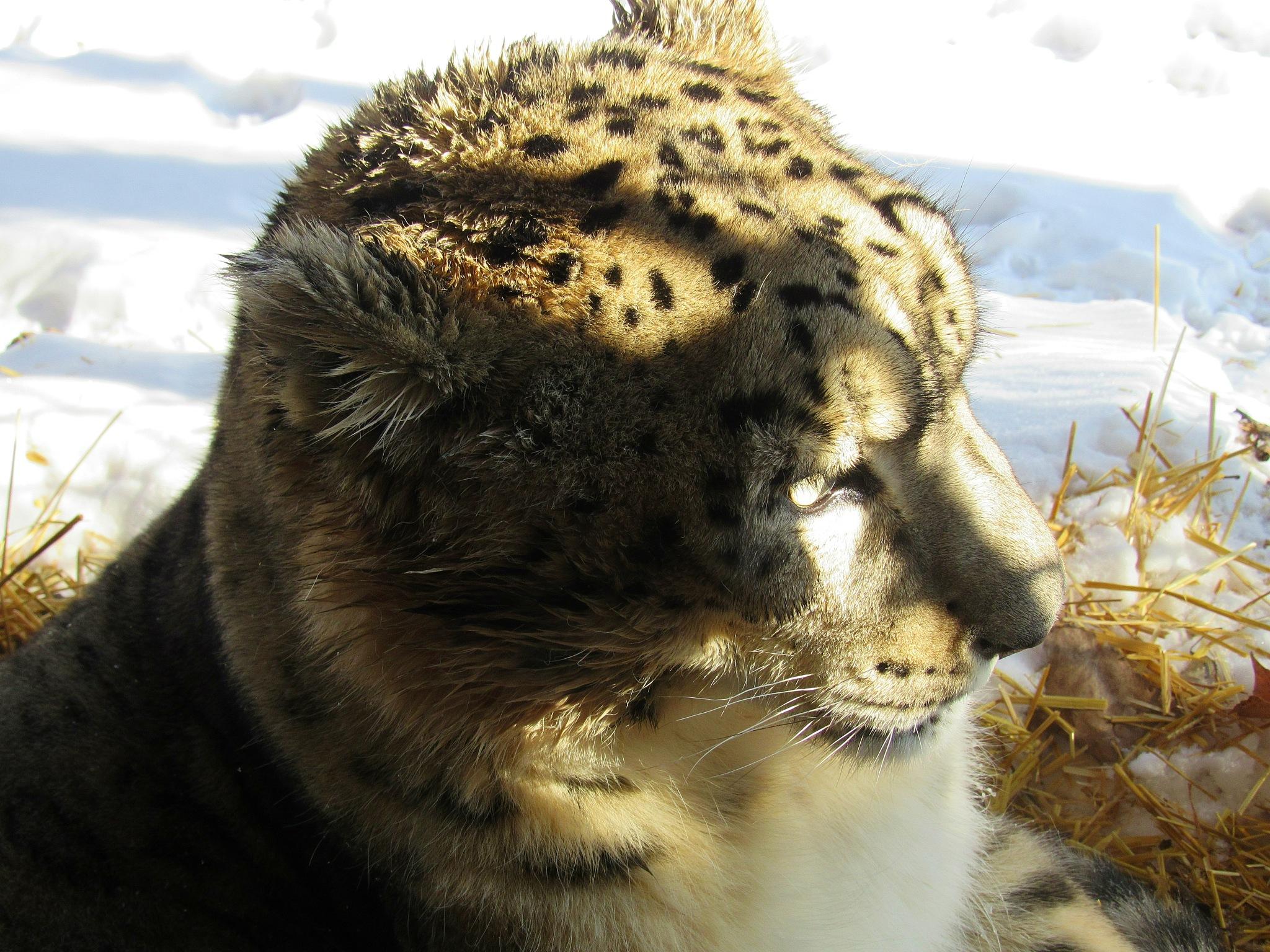 Light Play on Snow Leopard Profile by Carla Hepp
