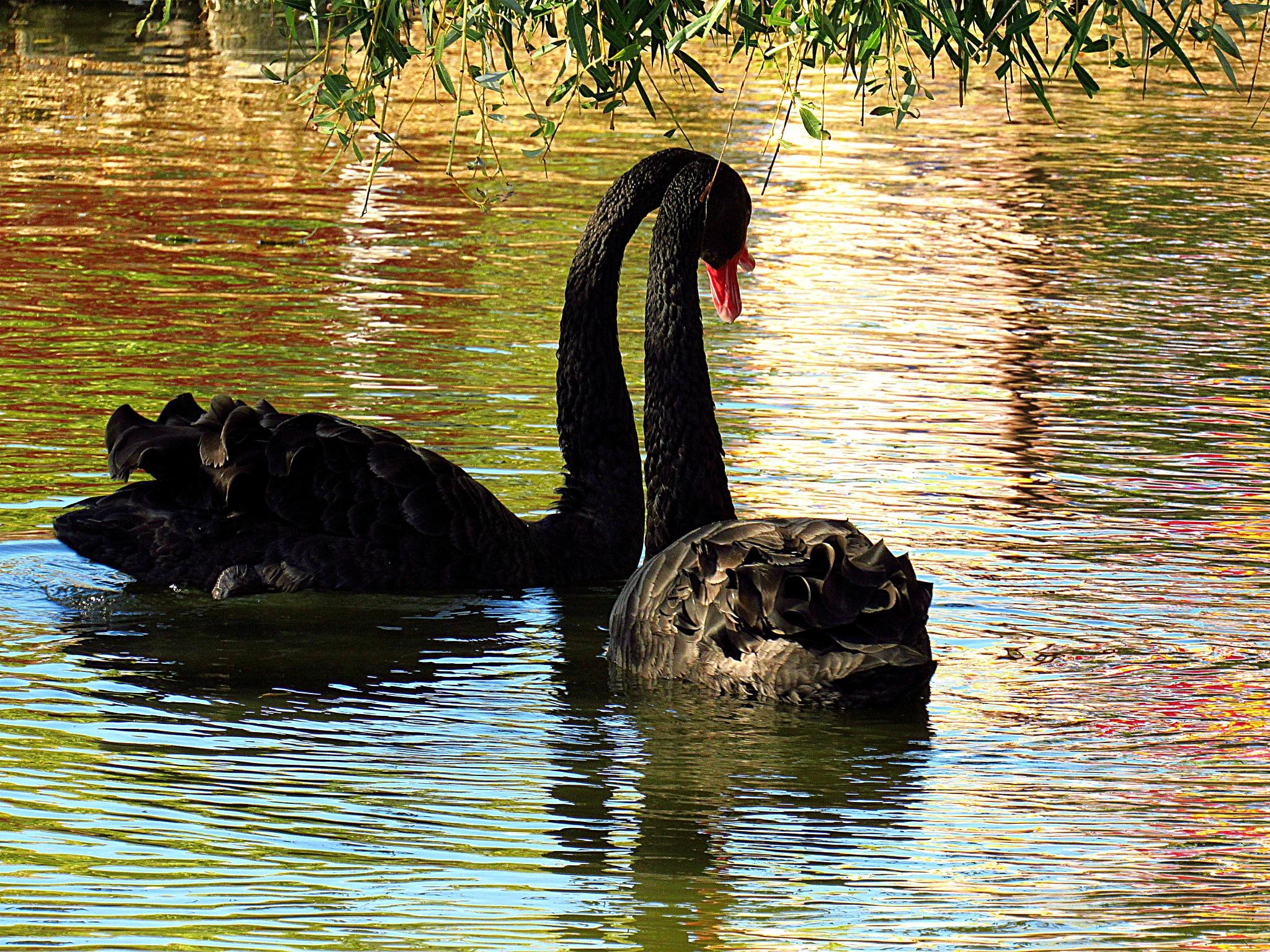 Pair of  Black Swan Sweethearts by Carla Hepp