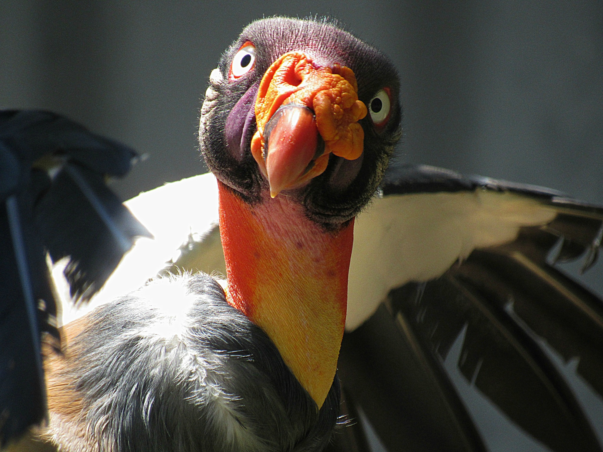 King Vulture his name Ferdinand by Carla Hepp