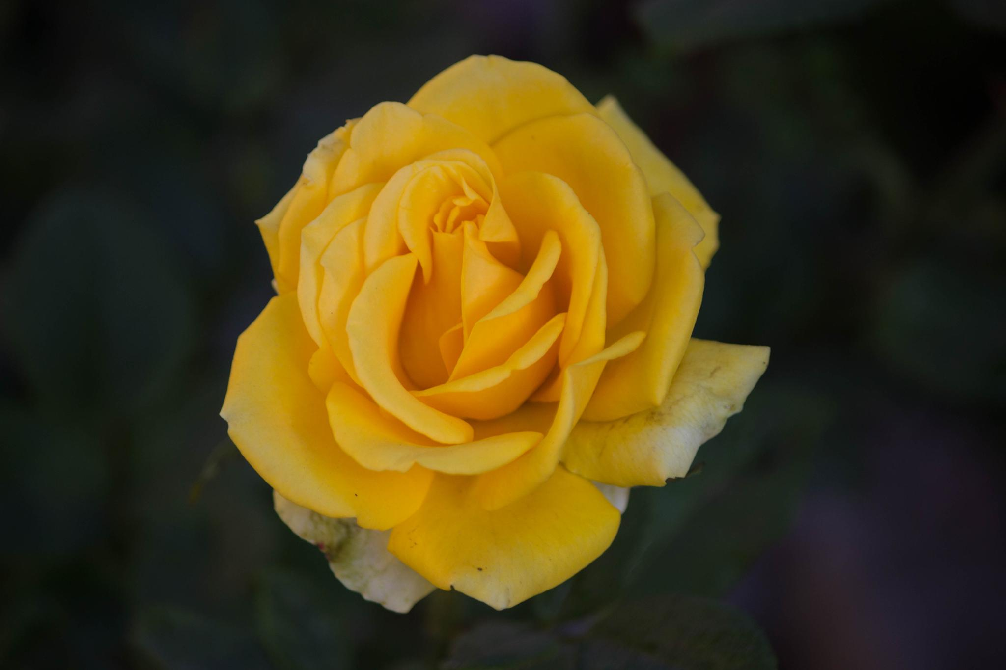 yellow pearl  by Sourabh Mohanty