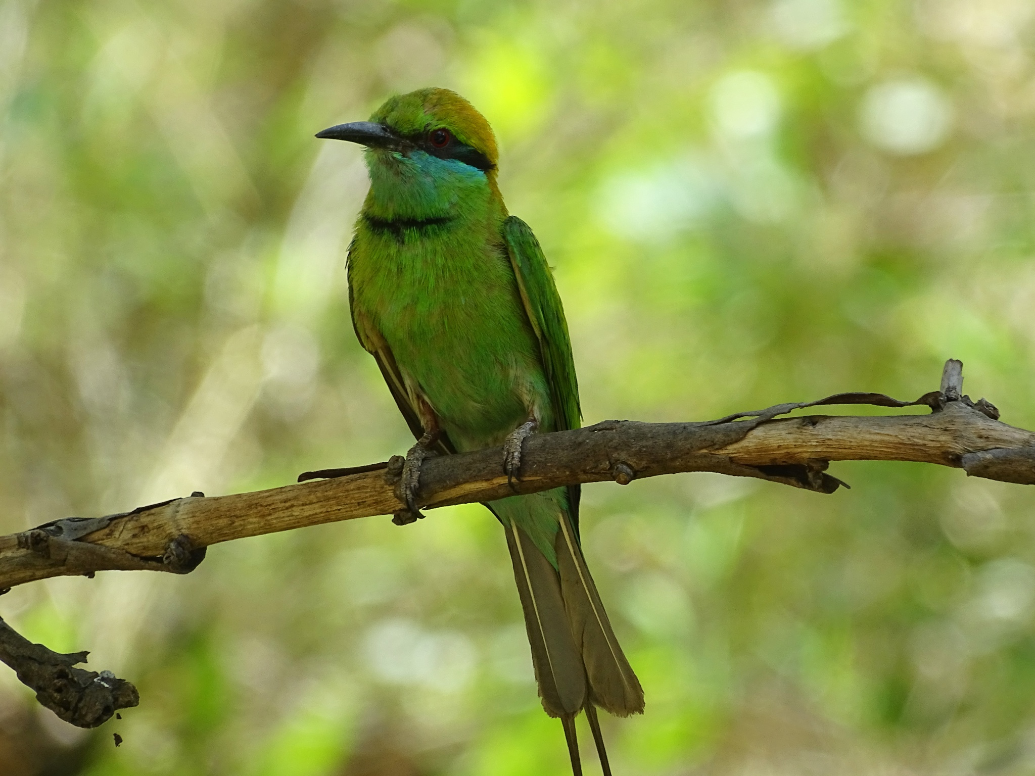 Green Bee-eater by Mohan Nagarajan