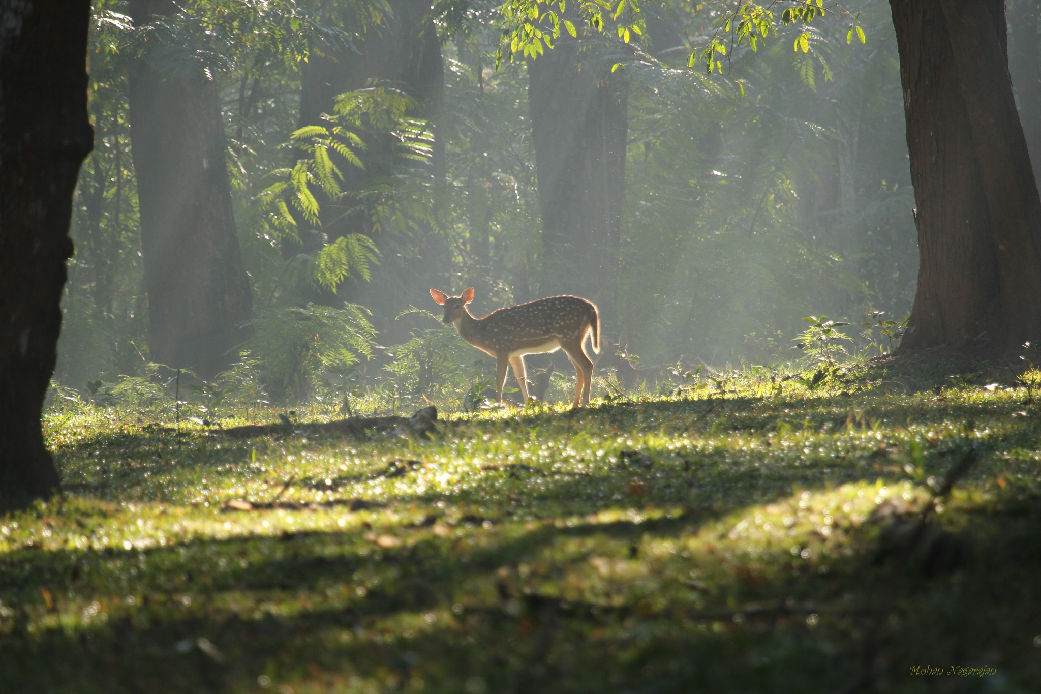 Photo in Random #deer #forest clearing #early morning #sunlight #forest sunlight #dewdrops #backlight #backlight deer