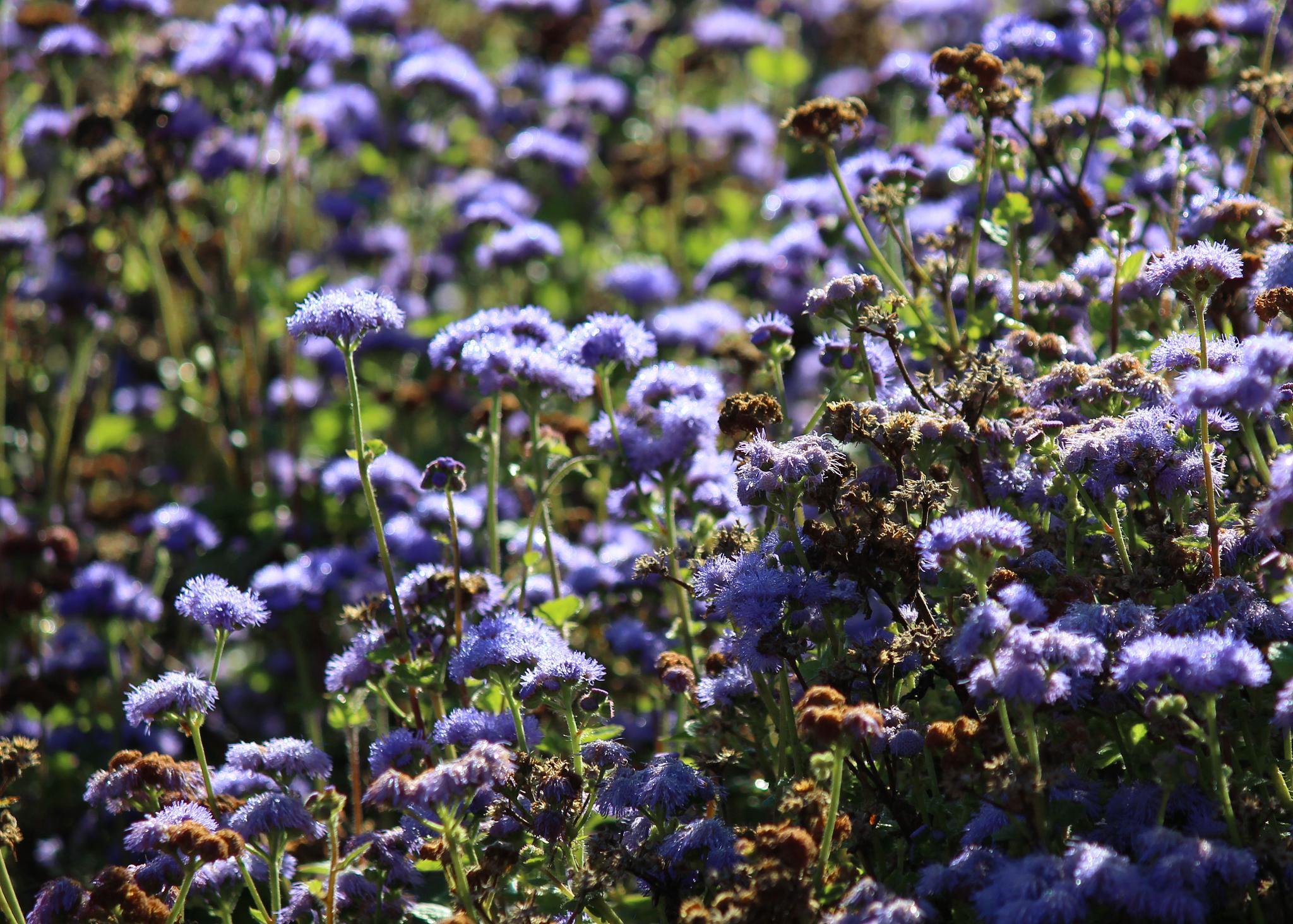Field of purple by Ben Gagné