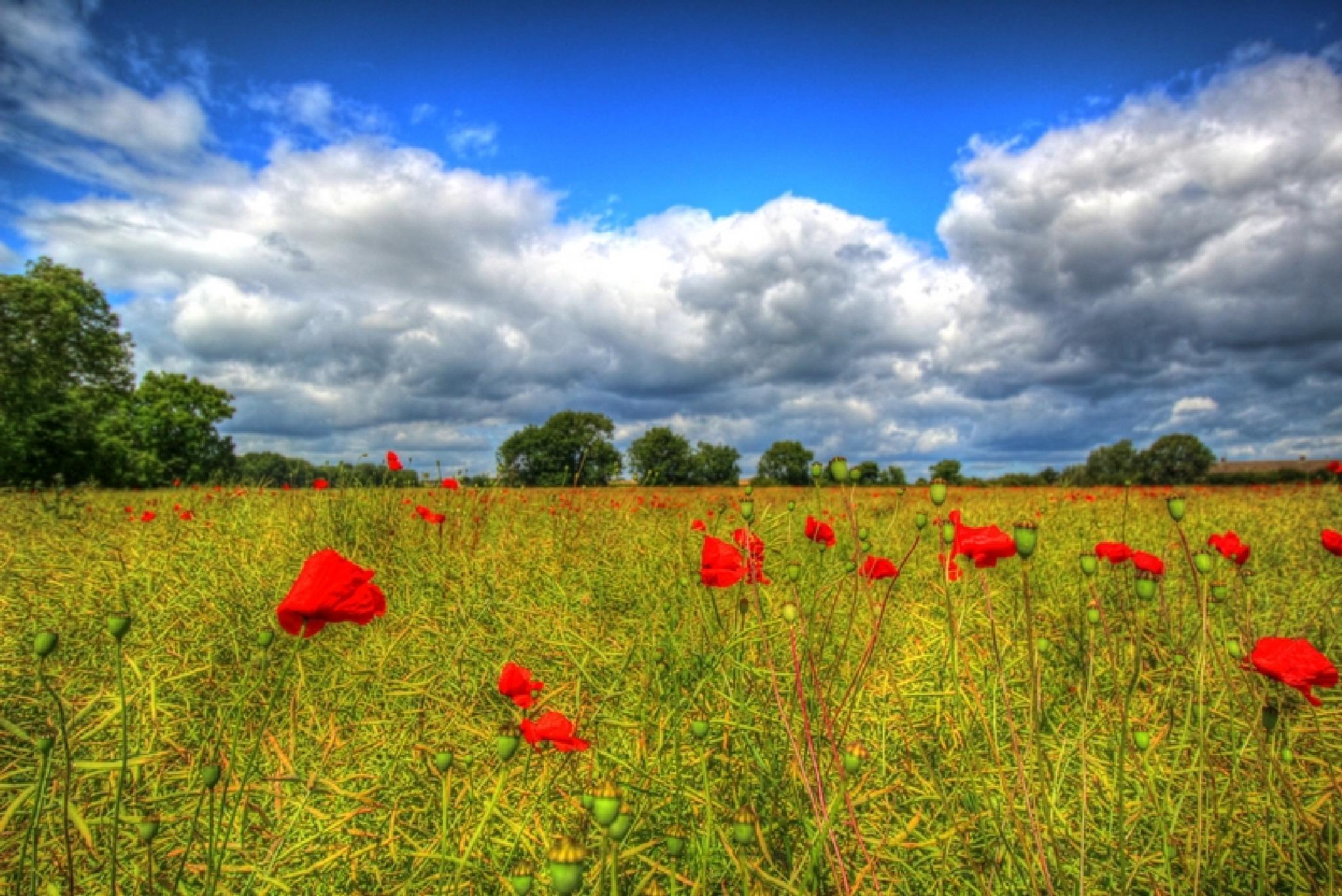 poppy field hartlepool UK by Mick Mac
