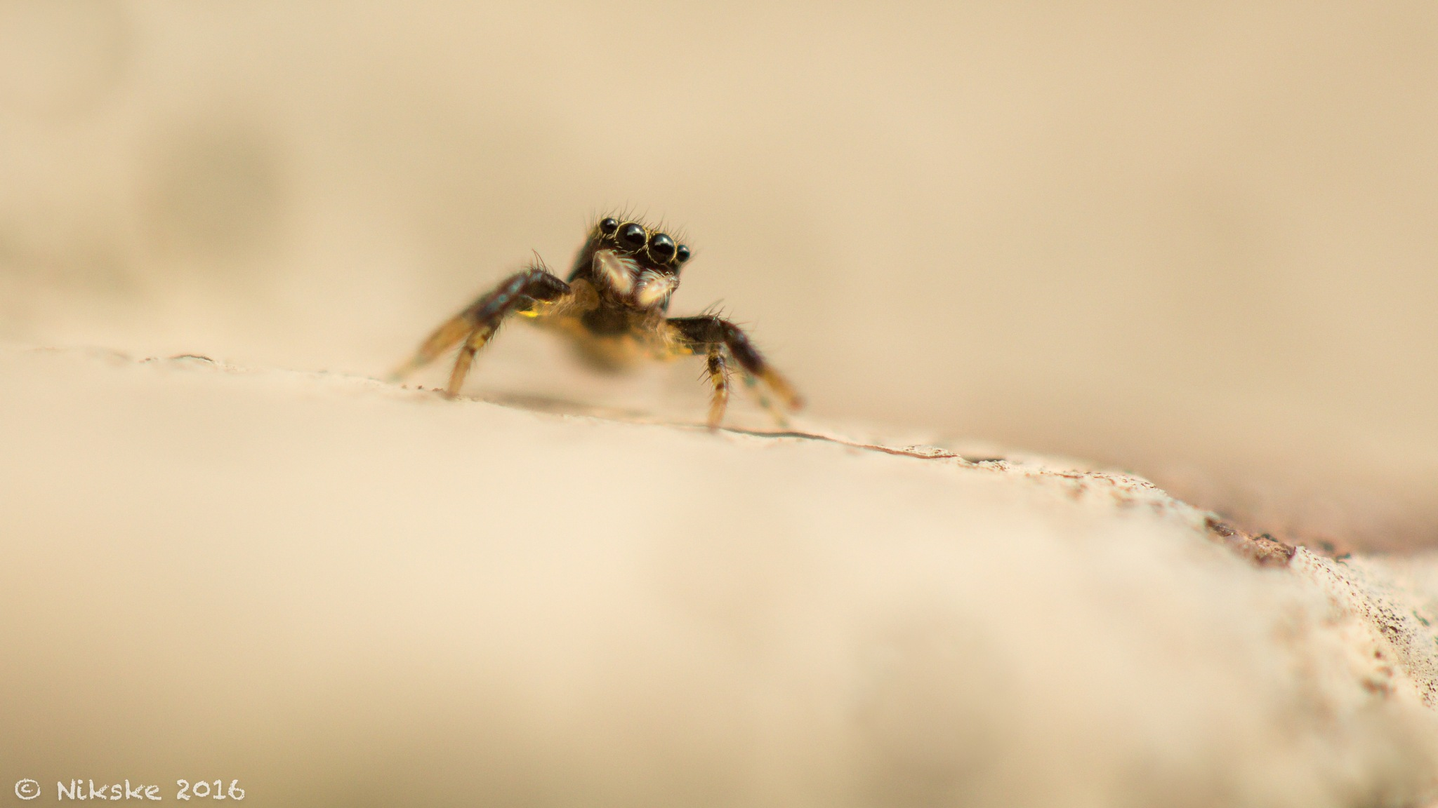 small jumping spider  by Kerkhofs Nico
