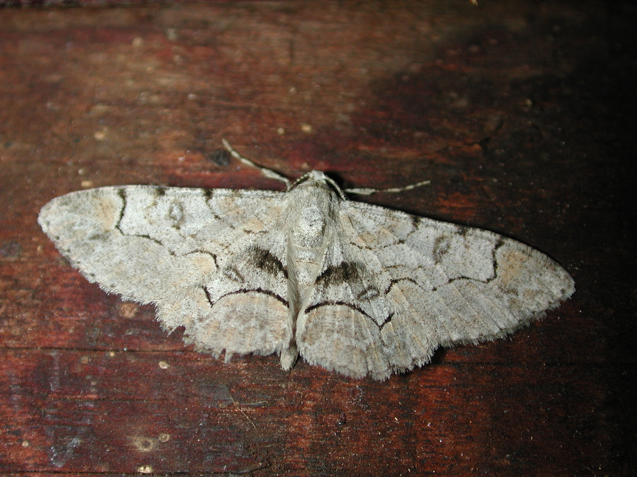 Another moth by Robert Hayes