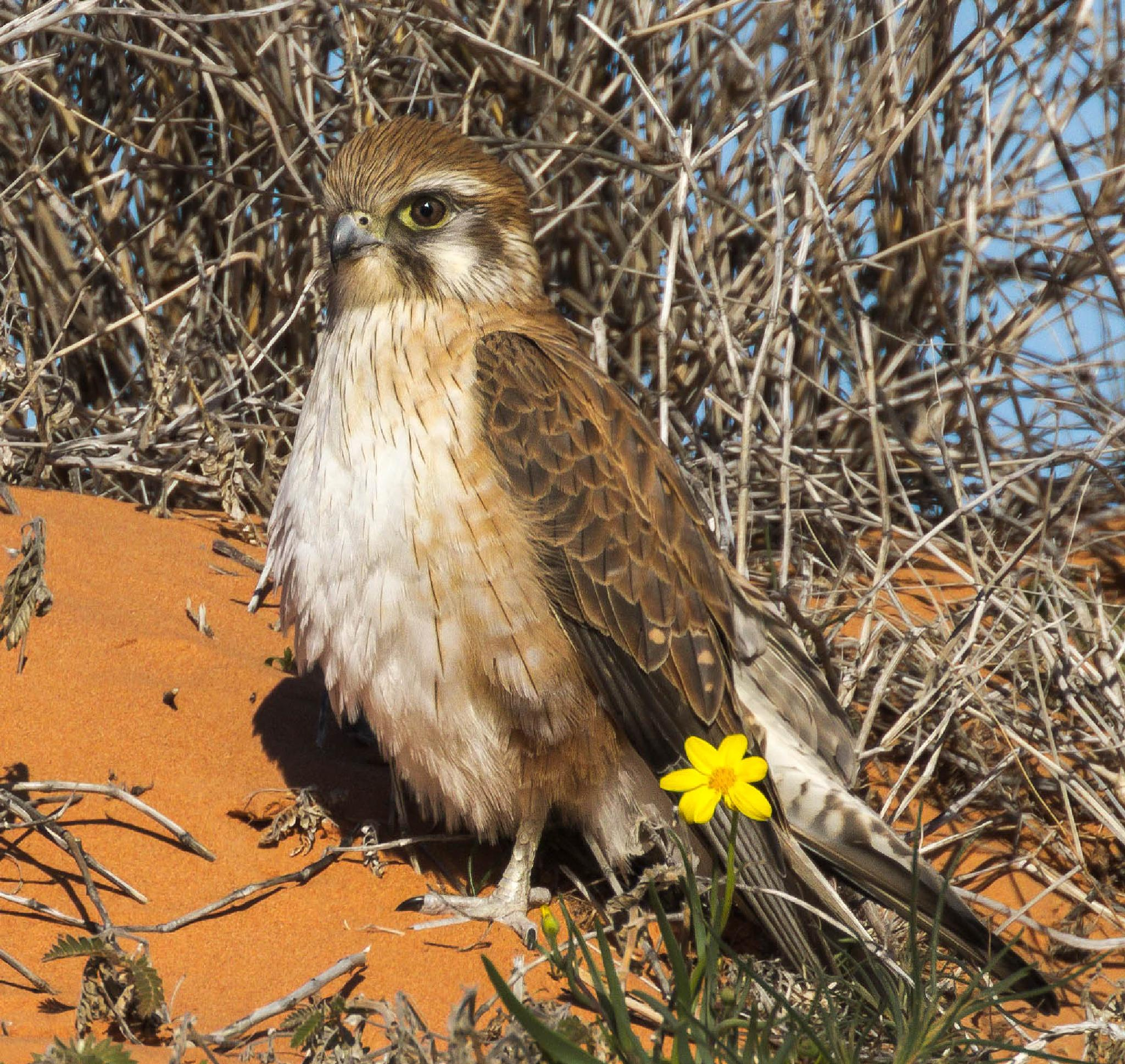 Brown Falcon (Falco berigora) by mickj