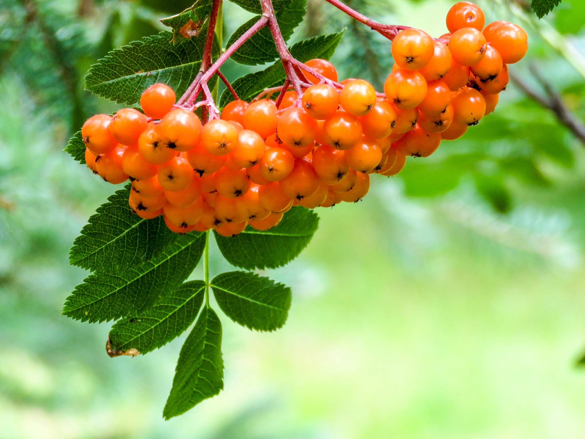 Rowan Berries by Brigitte Werner