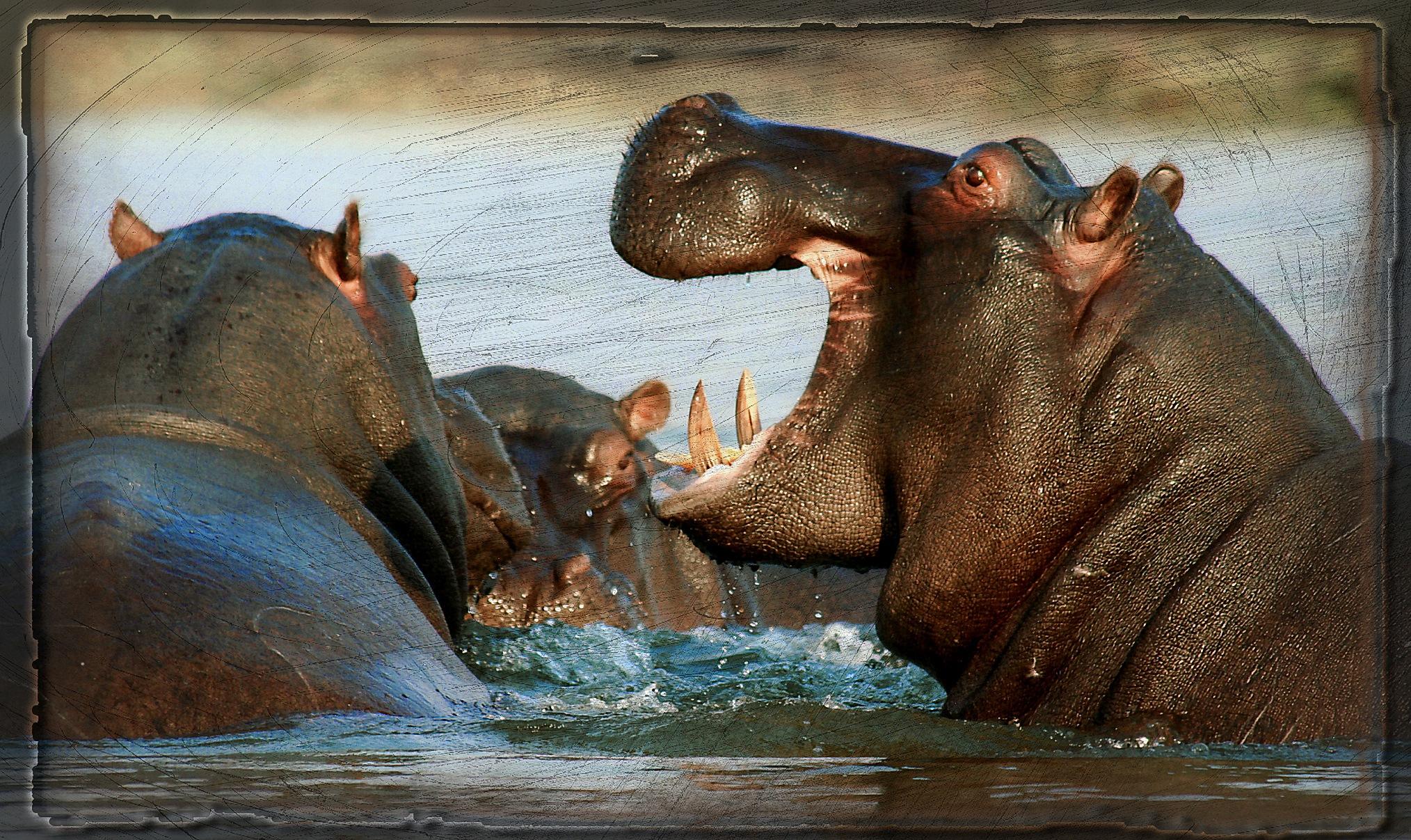 Hippopotamus by Brigitte Werner