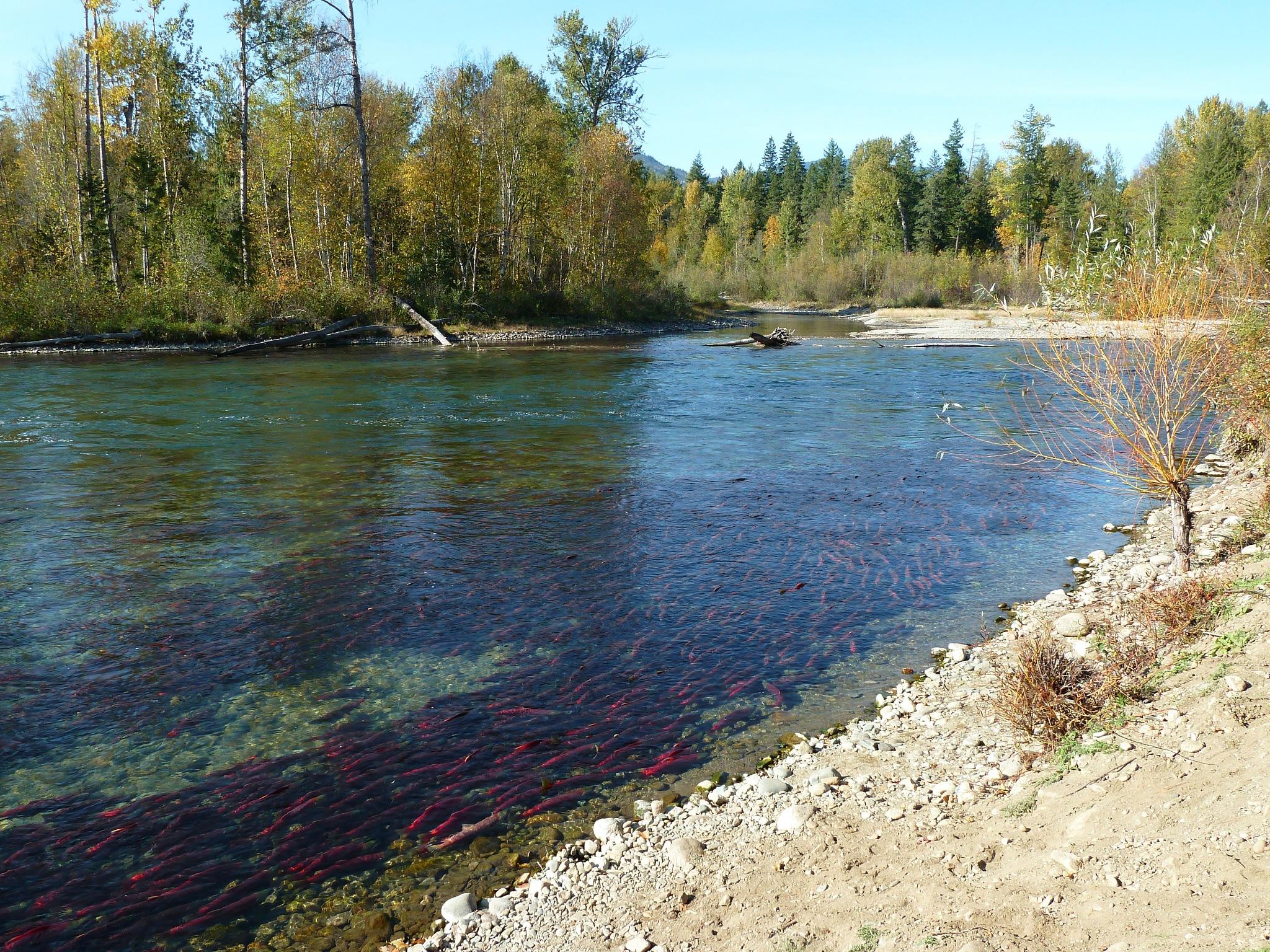 Salmon Run by Brigitte Werner
