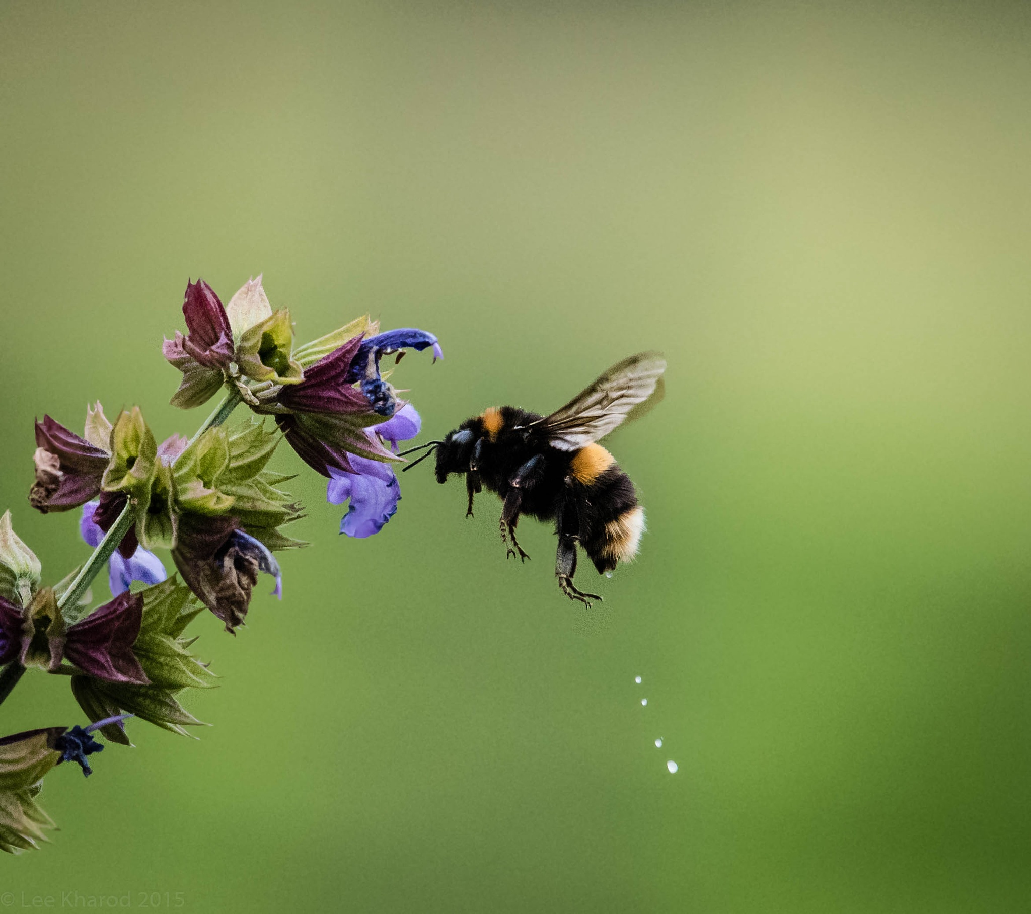 Bumble Bee making room by Lee Kharod
