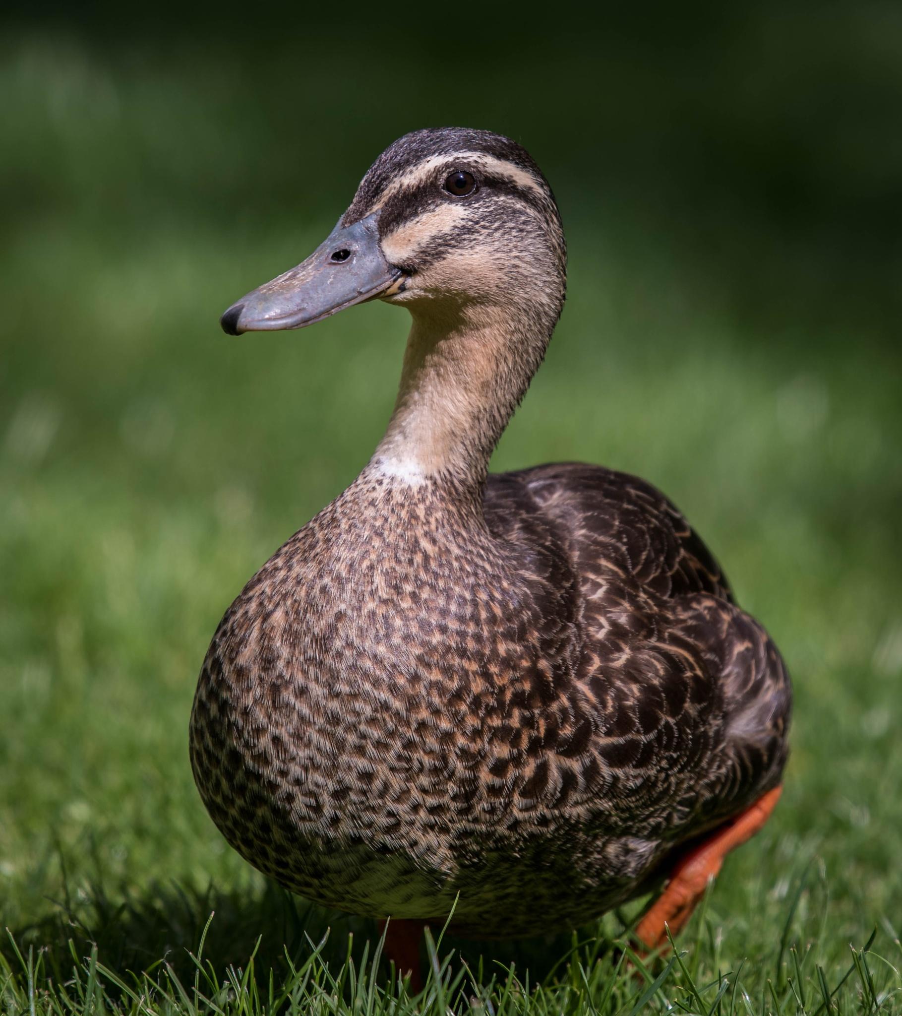 Photogenic Duck by Lee Kharod