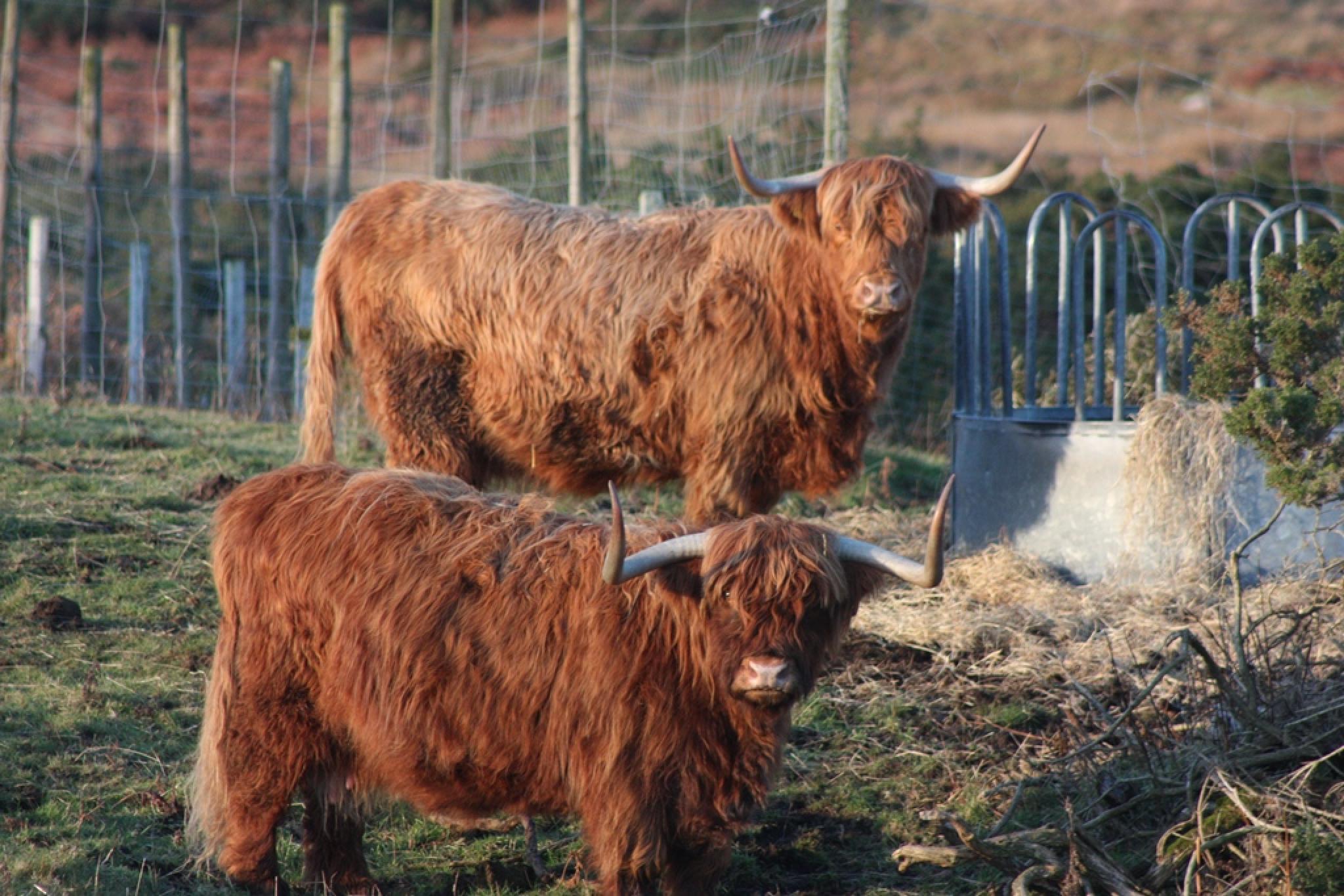 Highland catle sutherland Scotland by Rob Torkington