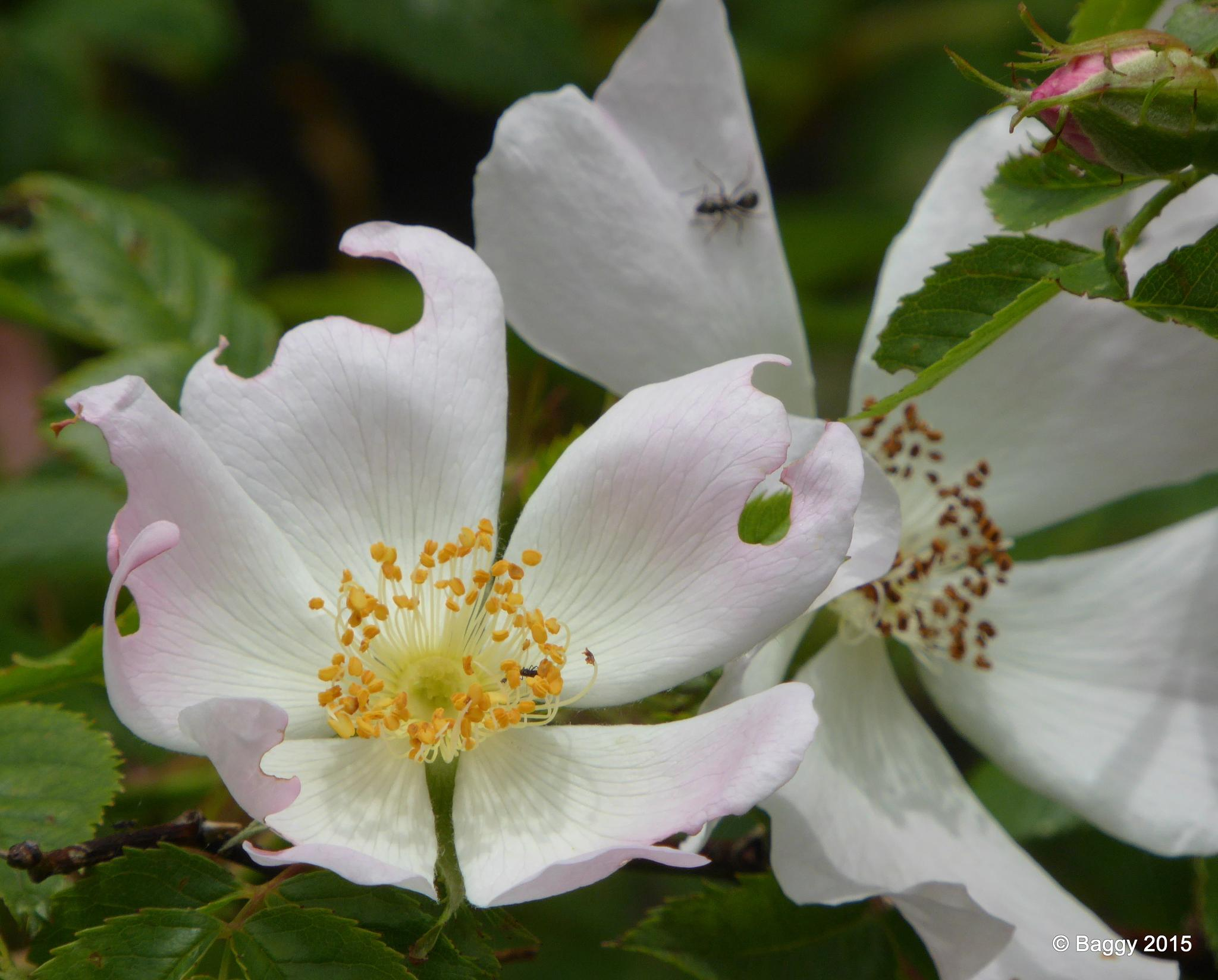 3 Stages of the Dog Rose  by bagpussis