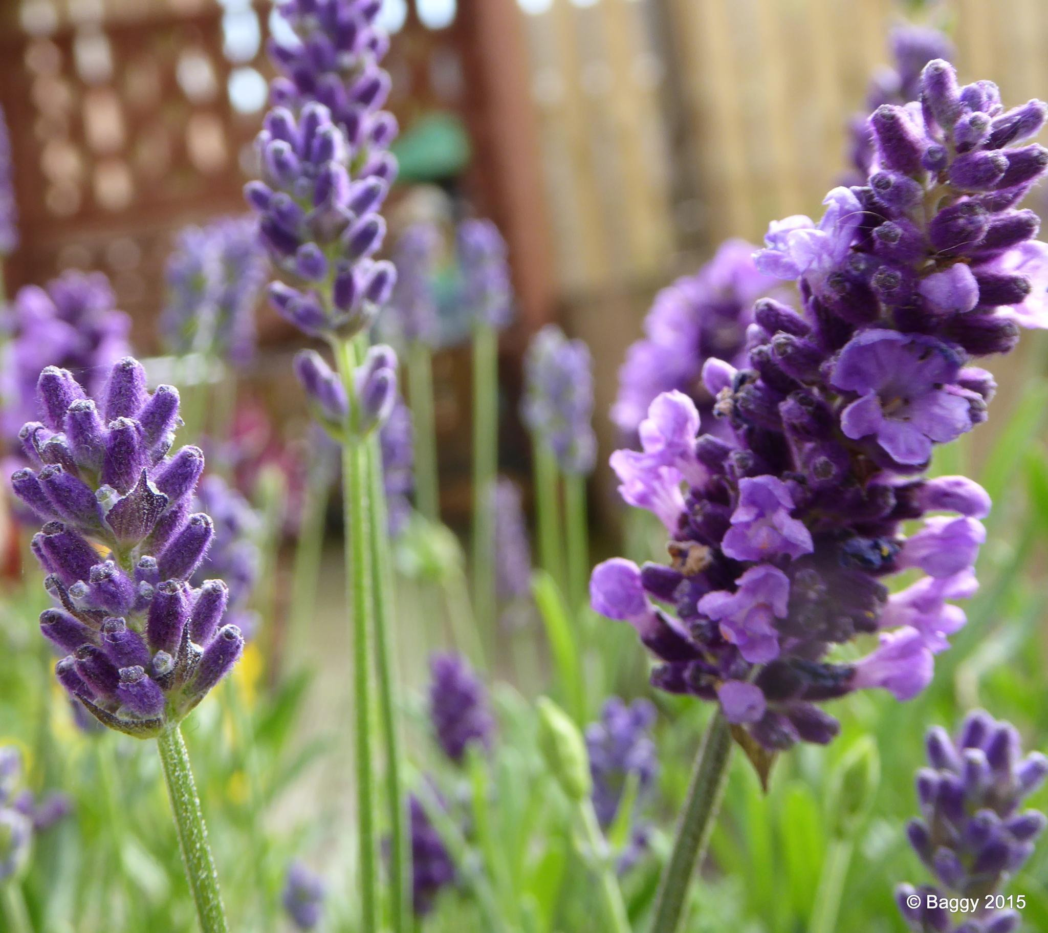 Lavender by bagpussis