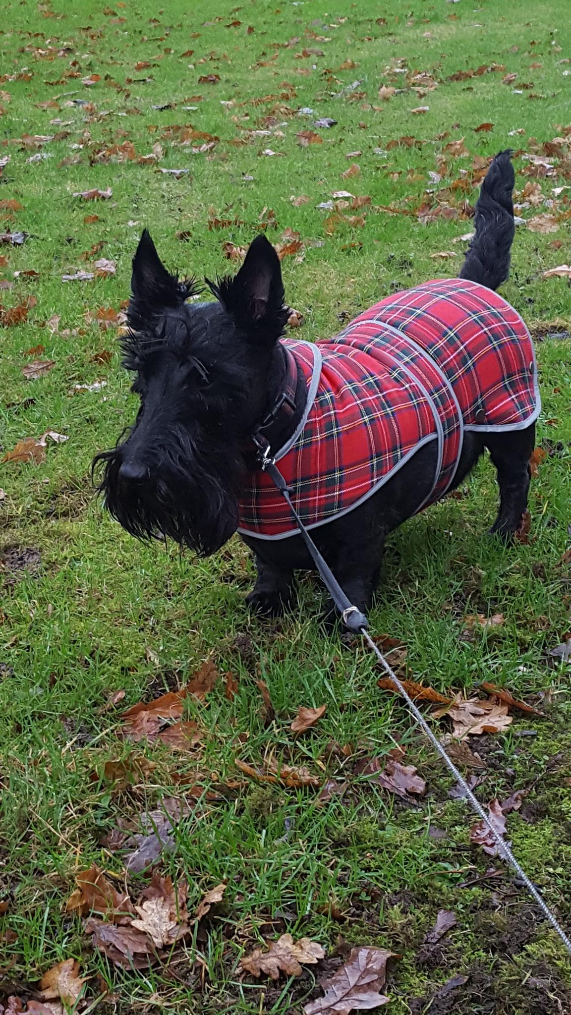 Scottie dog in the winter rain. by KL