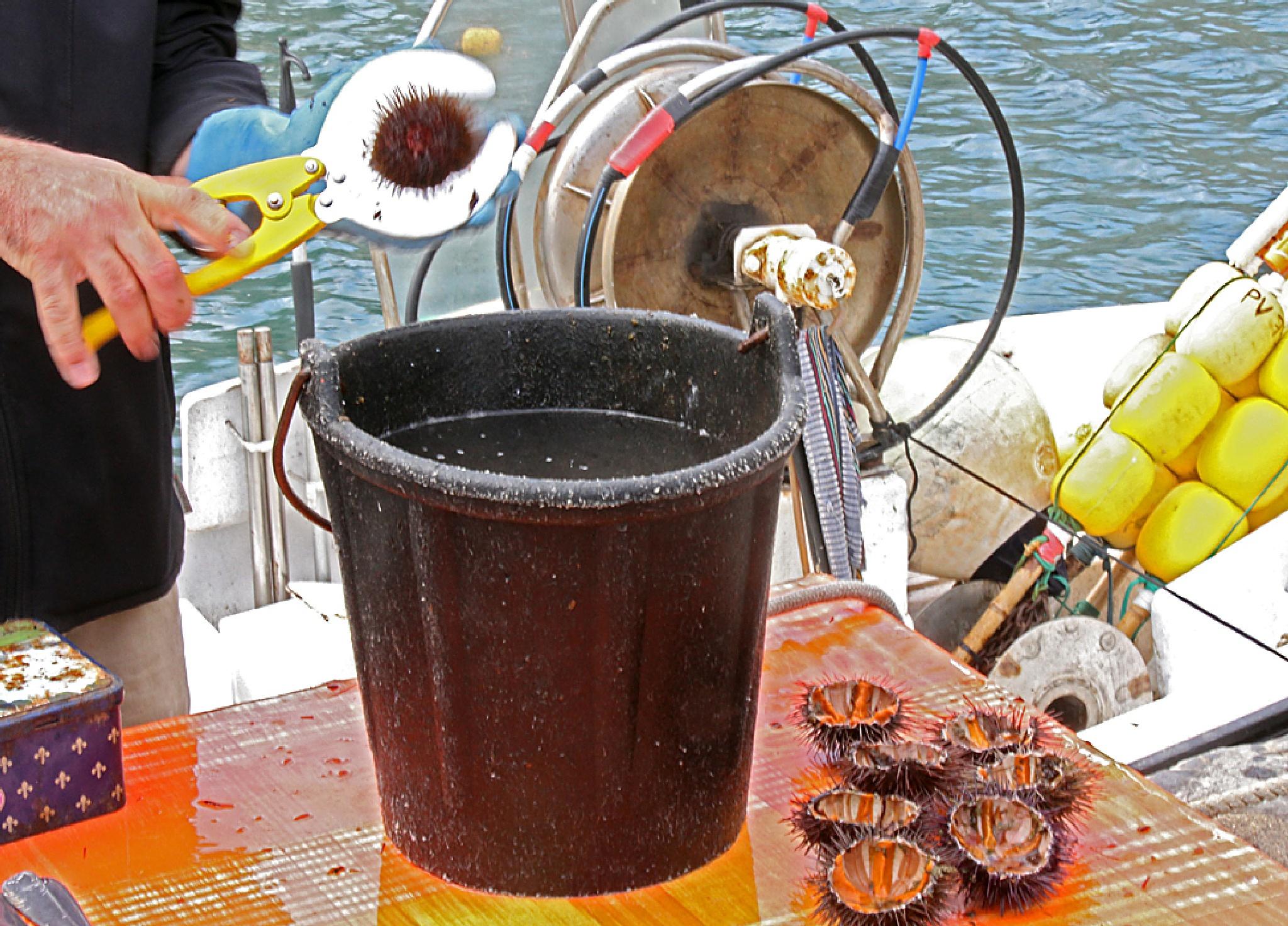 Collioure - Sea Urchins by Carl Main