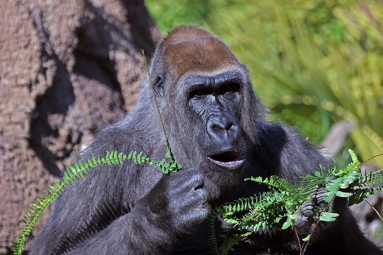 Gorilla by Carl Main