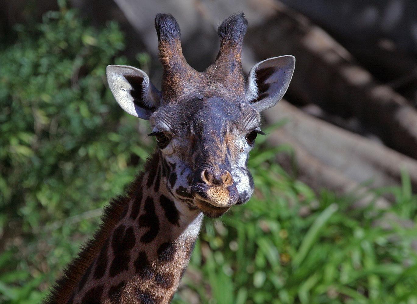 Giraffe by Carl Main