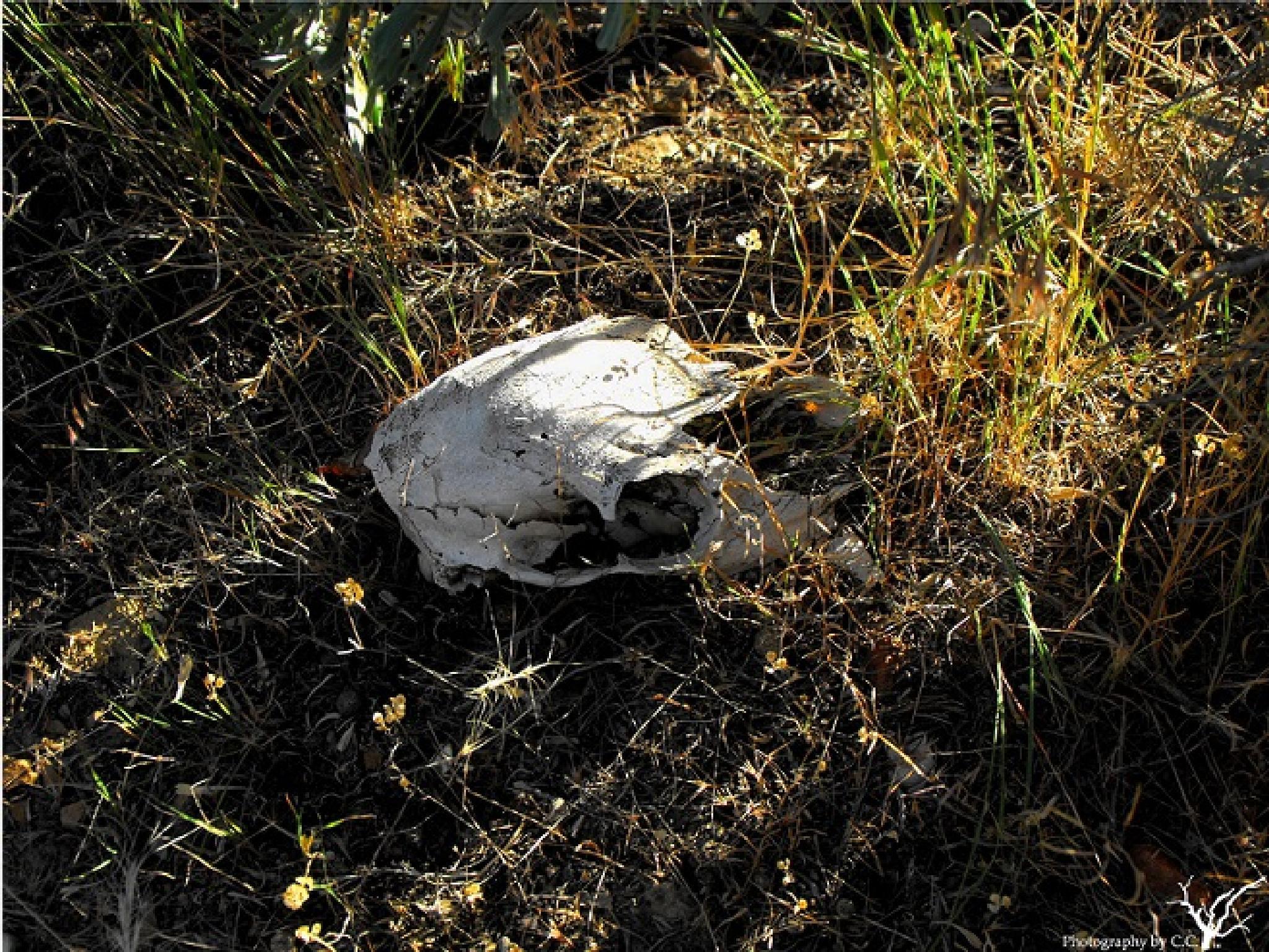 Desert Skull by Cathrine Crank