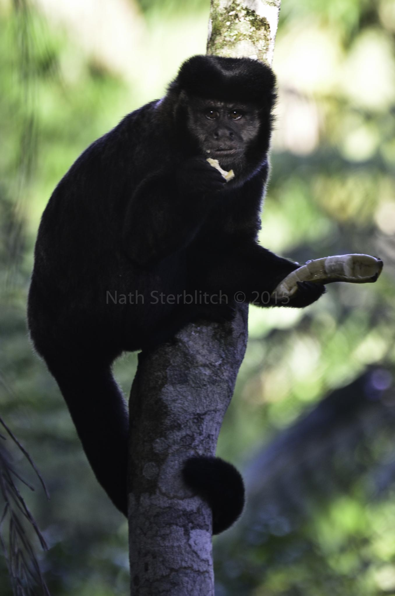 Macaco-prego e seu almoço by nathsterblitch