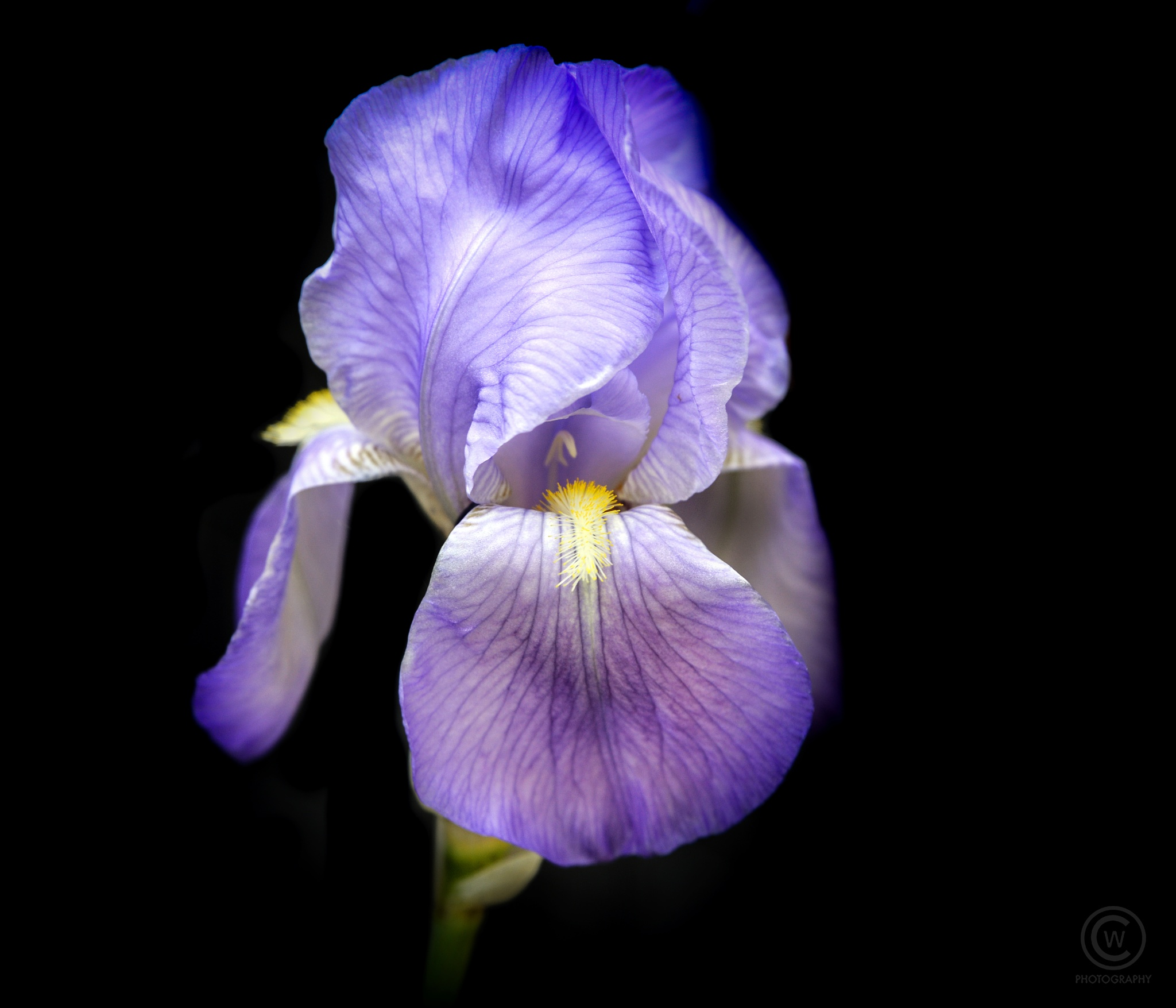 Purple Iris by Chandler L. Walker